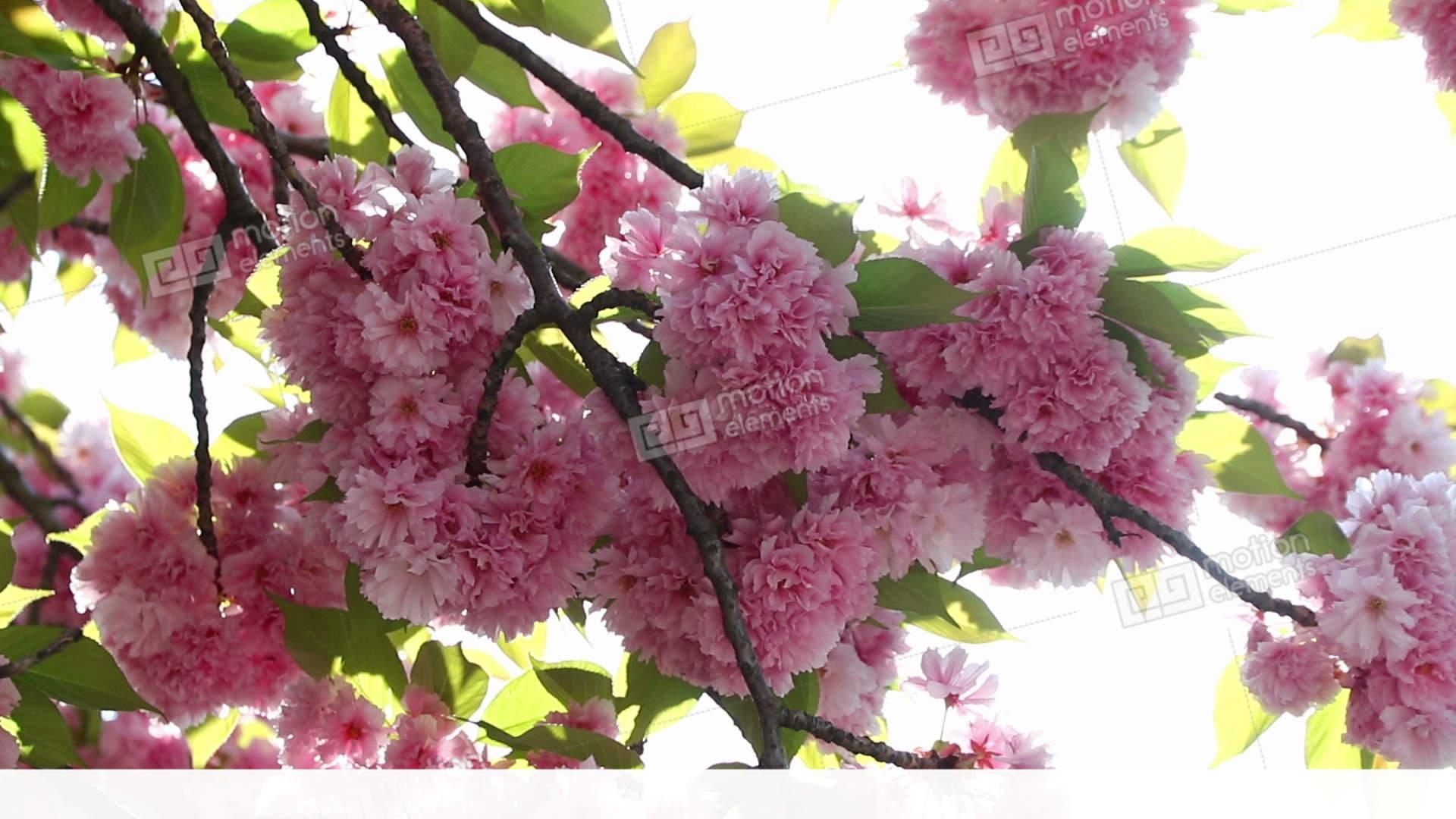 Blooming Pink Sakura Tree Branch Cherry Sakura Spring Flowers Stock