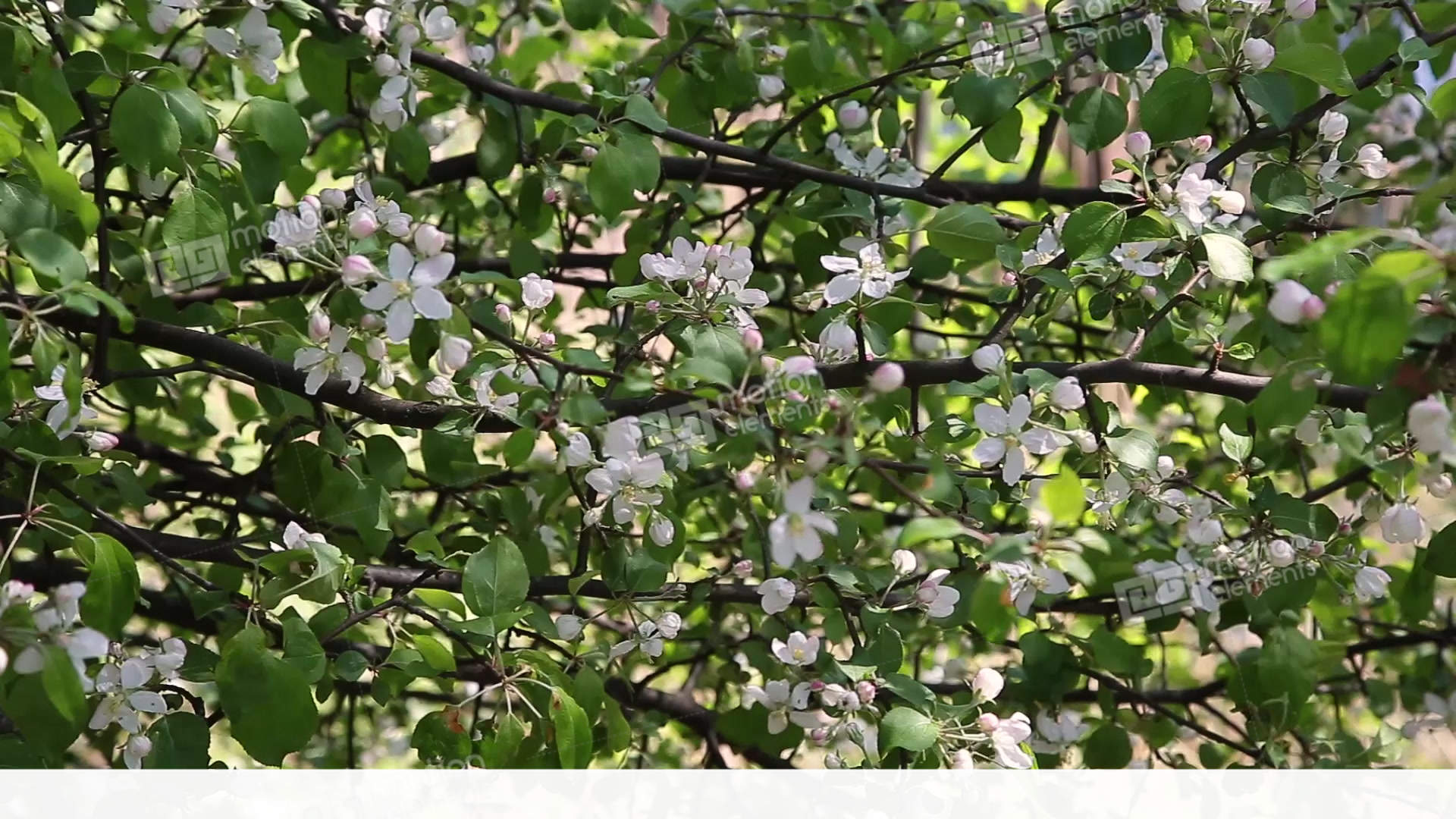 A Blooming Branch Of Apple Tree In Spring With Light Stock Video Footage