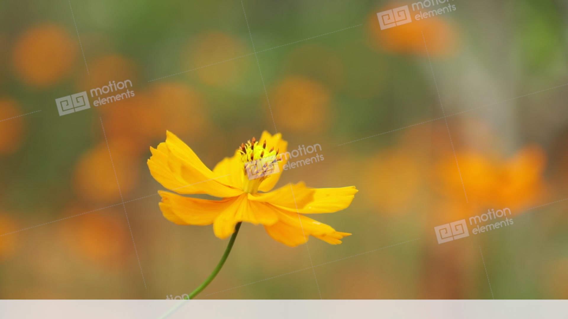 Cosmos Bipannatus Flowers Daisy Family Stock Footage Stock Video