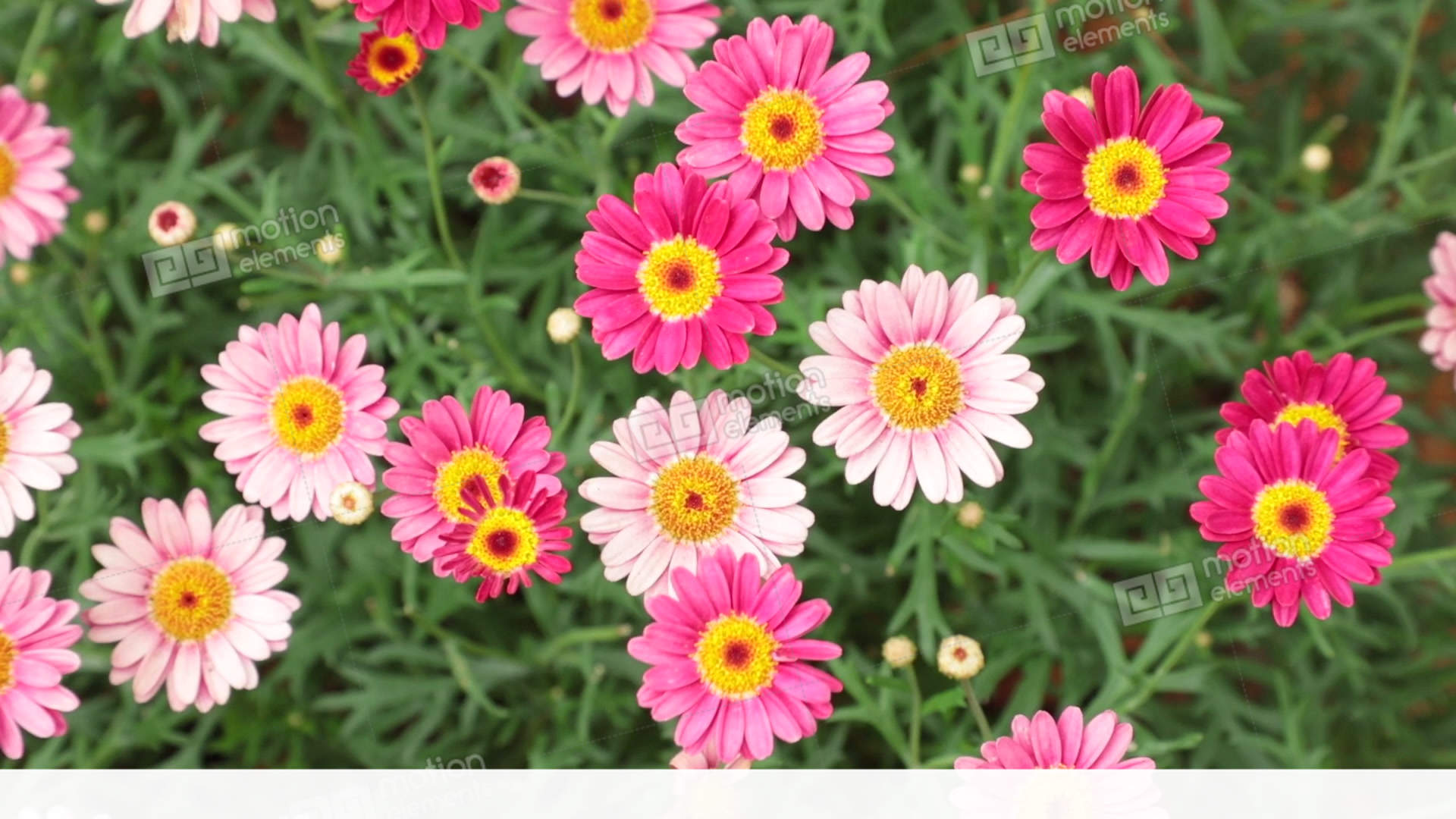 Marguerite daisy flowers pink red hd stock footage stock video marguerite daisy flowers pink red hd stock footage stock video footage izmirmasajfo