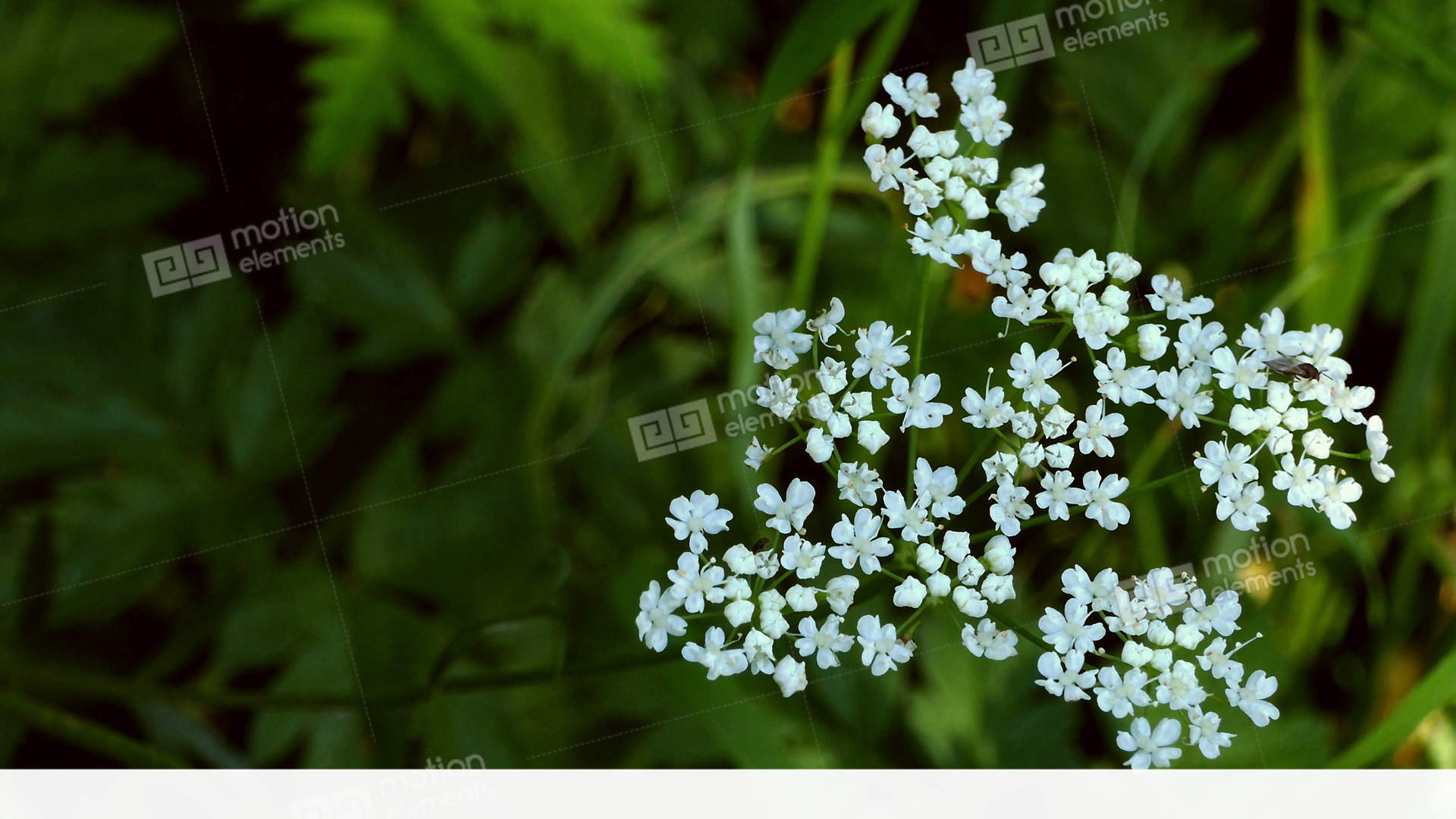 Small White Flowers Stock Video Footage 11818106