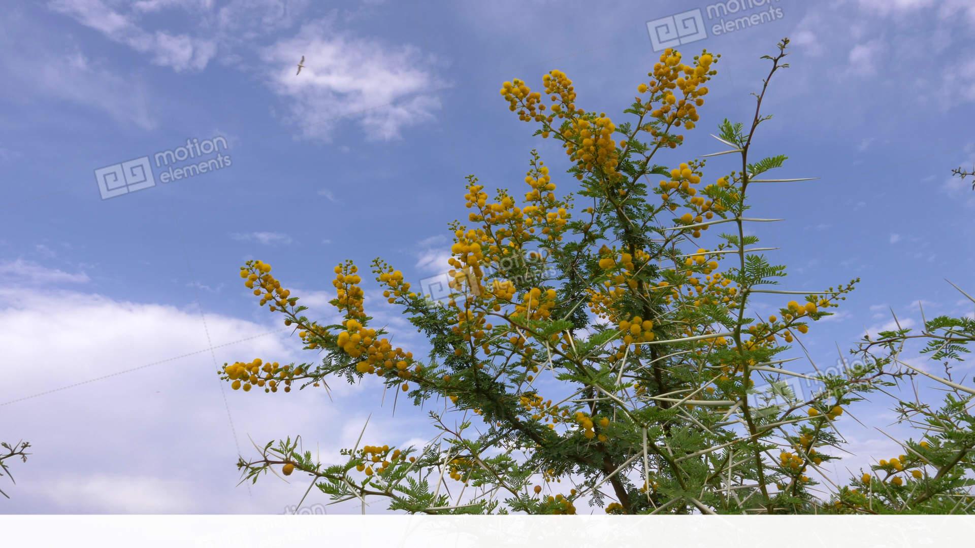 Flowering yellow acacia vachellia karroo with sharp spines on blue flowering yellow acacia vachellia karroo with sharp stock video footage mightylinksfo