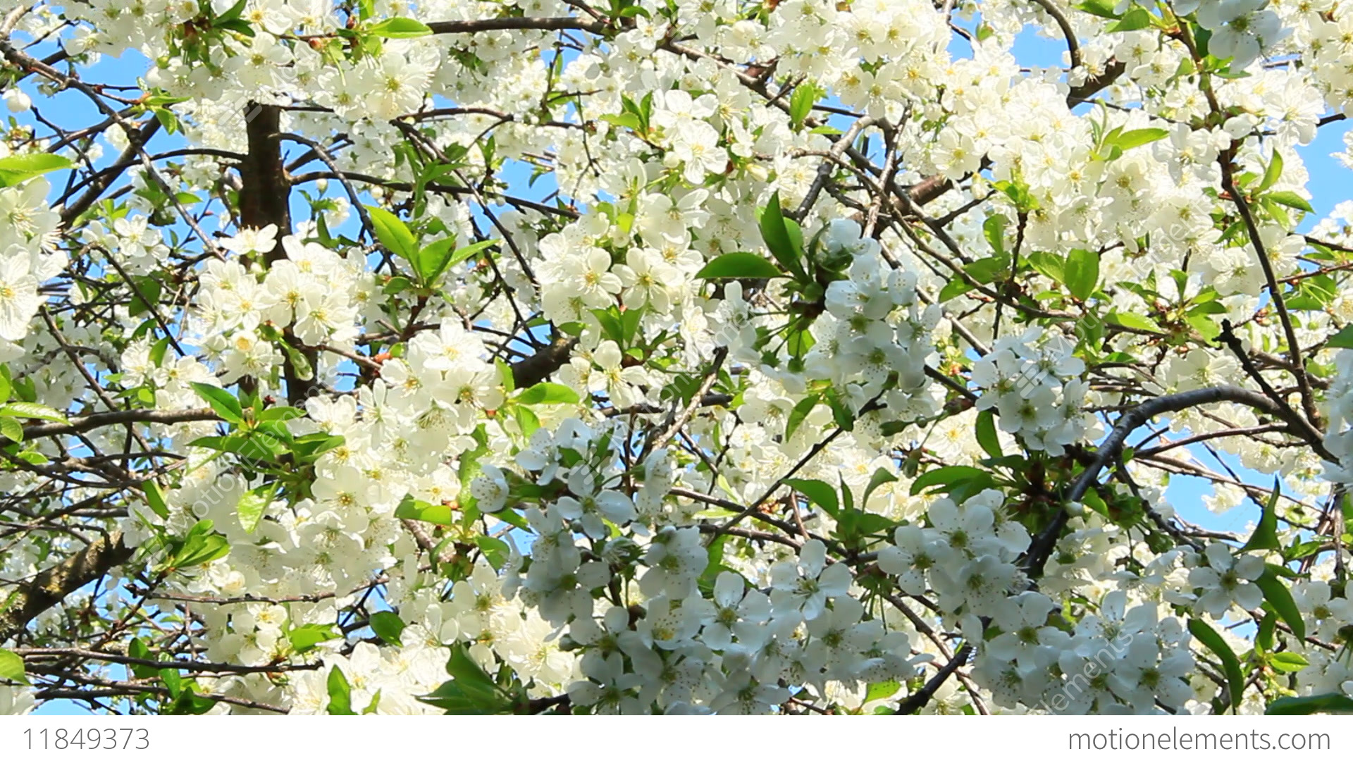 Blossoming cherry tree white flowers spring garden stock video blossoming cherry tree white flowers spring garden stock video footage mightylinksfo