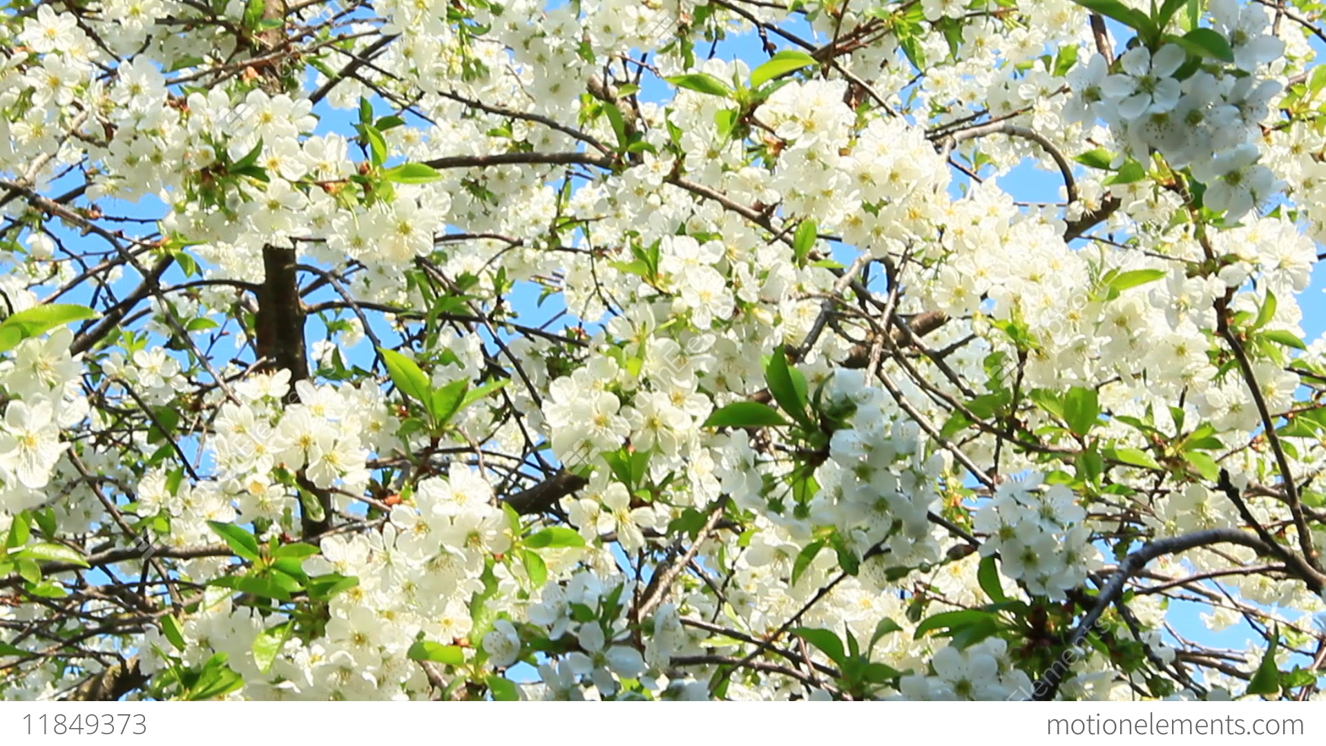 Blossoming Cherry Tree White Flowers Spring Garden Stock Video