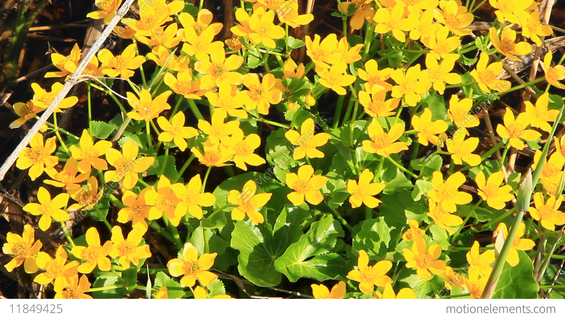 Caltha palustris growing in swamp. Spring flowers. Marsh... Stock Video Footage
