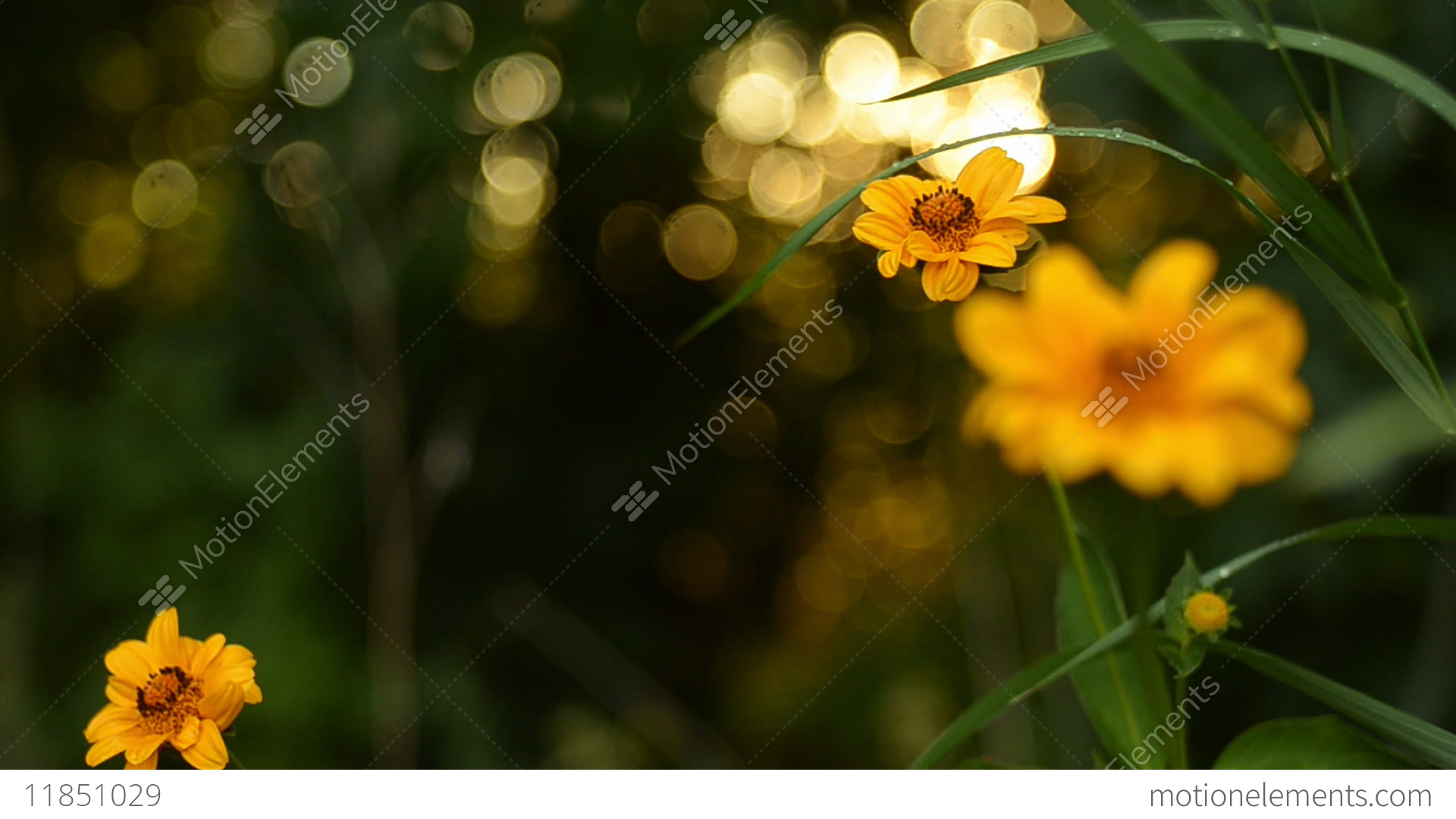 Beautiful yellow flowers against the background of a summer sunset beautiful yellow flowers against the background of a stock video footage izmirmasajfo