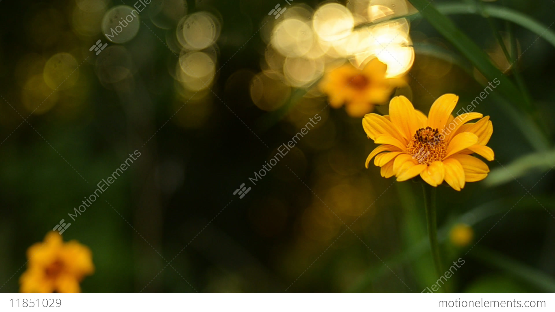 Beautiful Yellow Flowers Against The Background Of A Summer Sunset