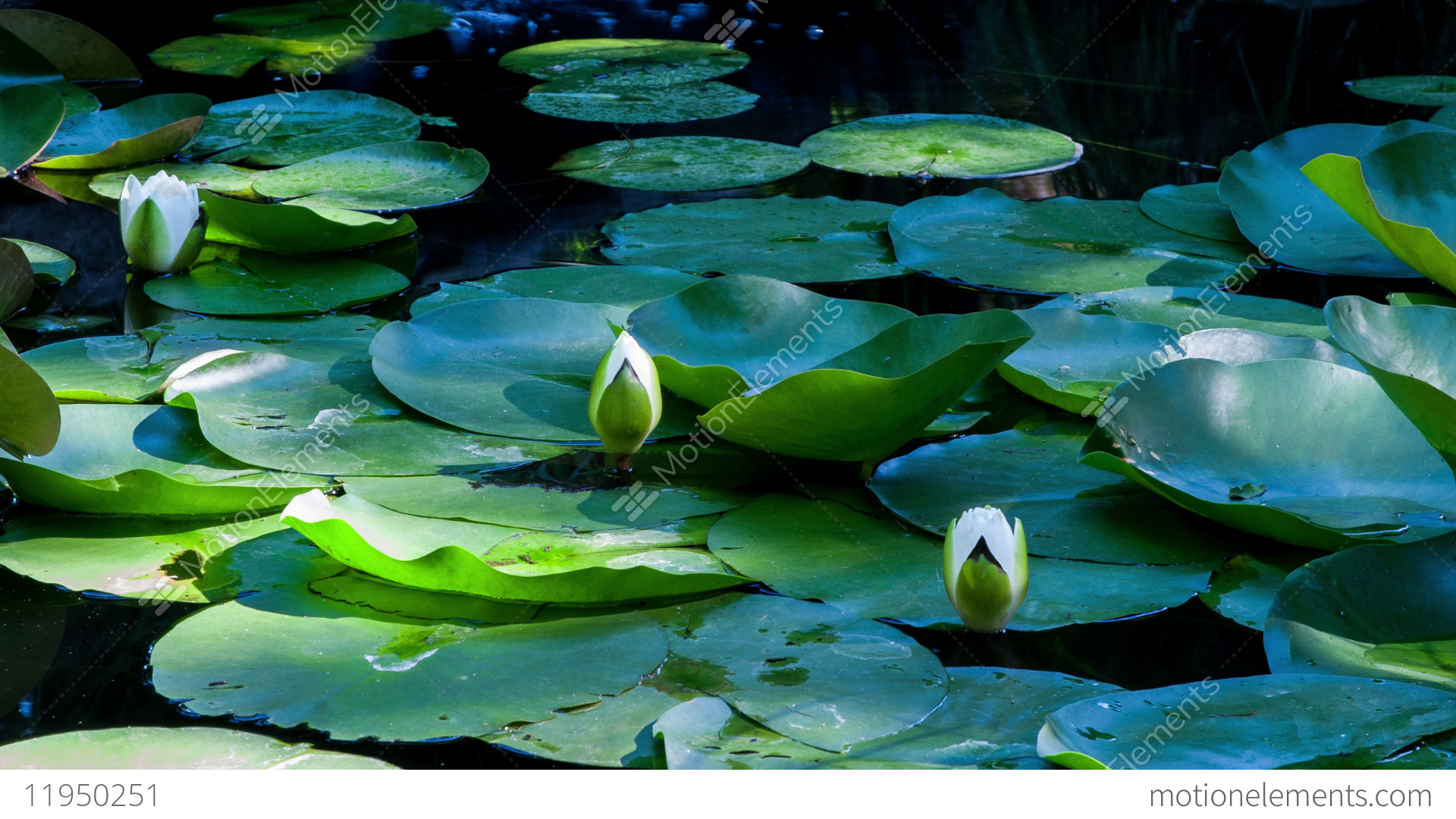 Time Lapse Lotus Flowers Opening And Closing In A Pond Cycle Of