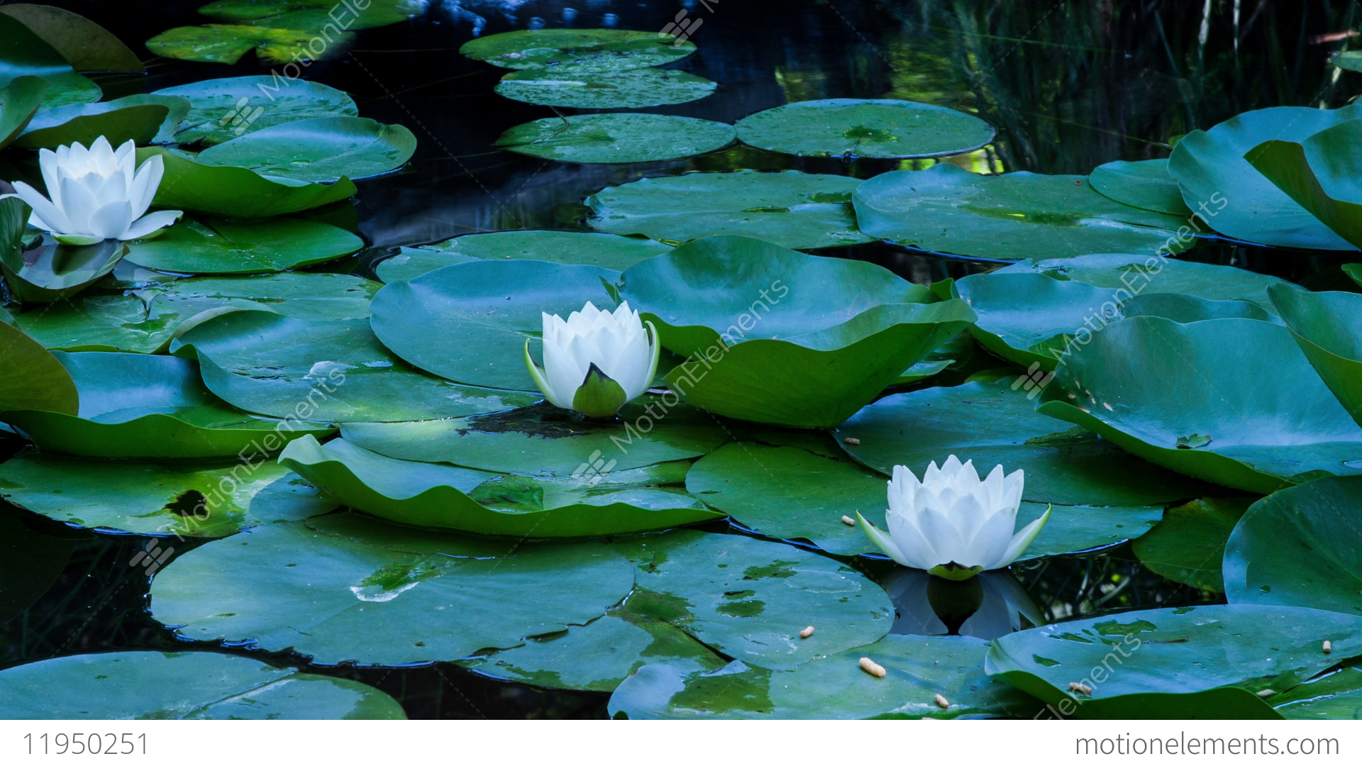 Time lapse lotus flowers opening and closing in a pond cycle of time lapse lotus flowers opening and closing in a pond stock video mightylinksfo