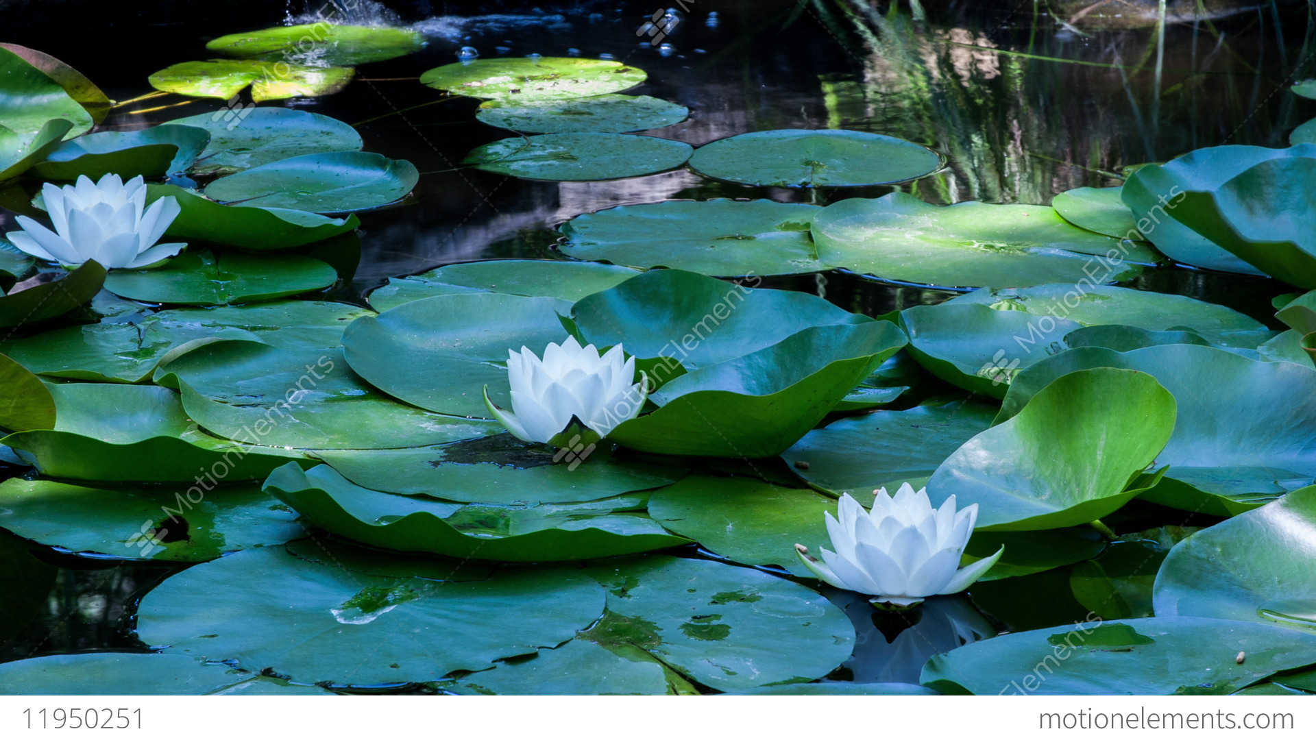 Time lapse lotus flowers opening and closing in a pond cycle of time lapse lotus flowers opening and closing in a pond stock video izmirmasajfo