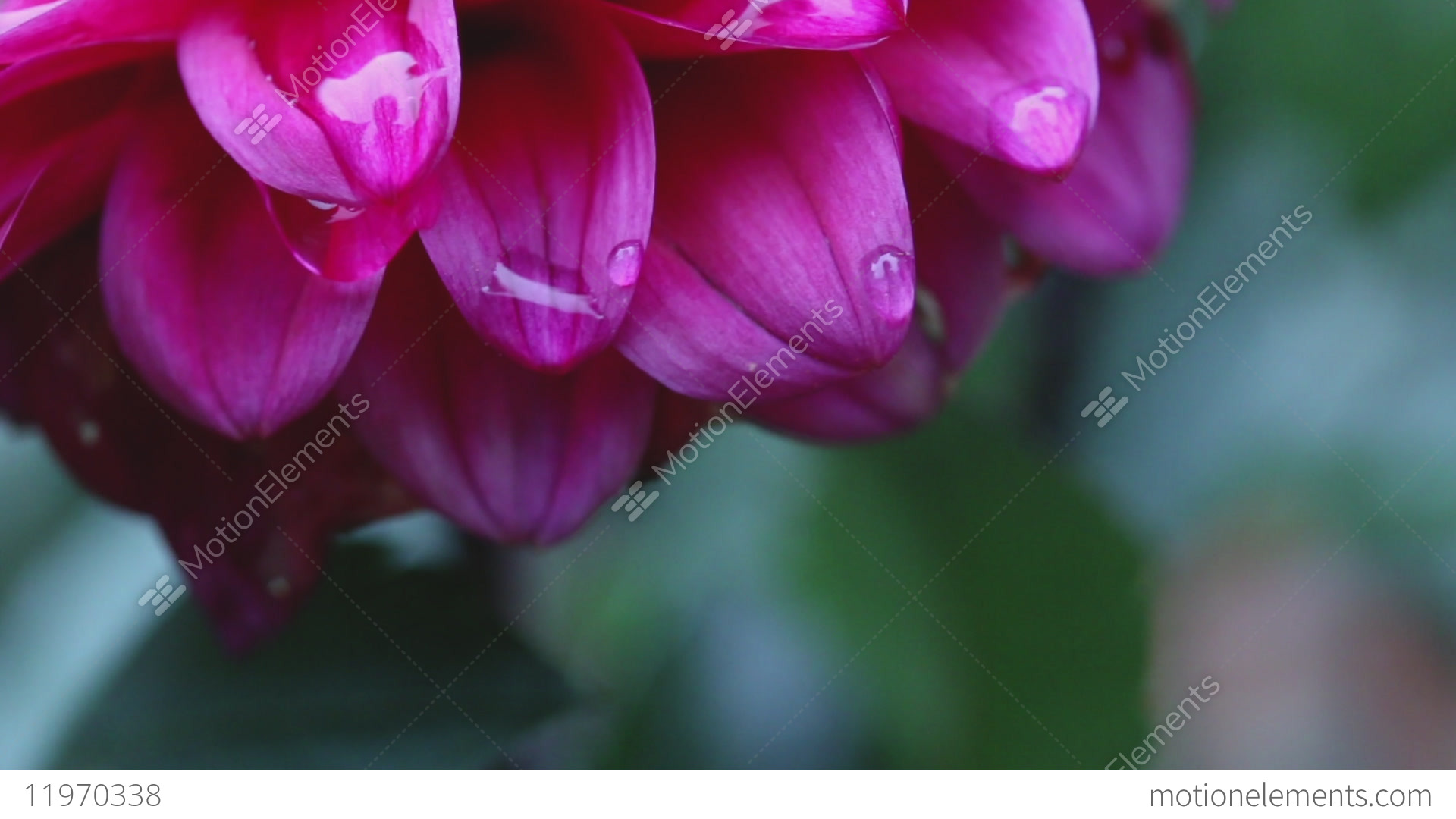 Extreme Close Up Shot Of A Pink Dahlia Flower In The Rain Raindrops
