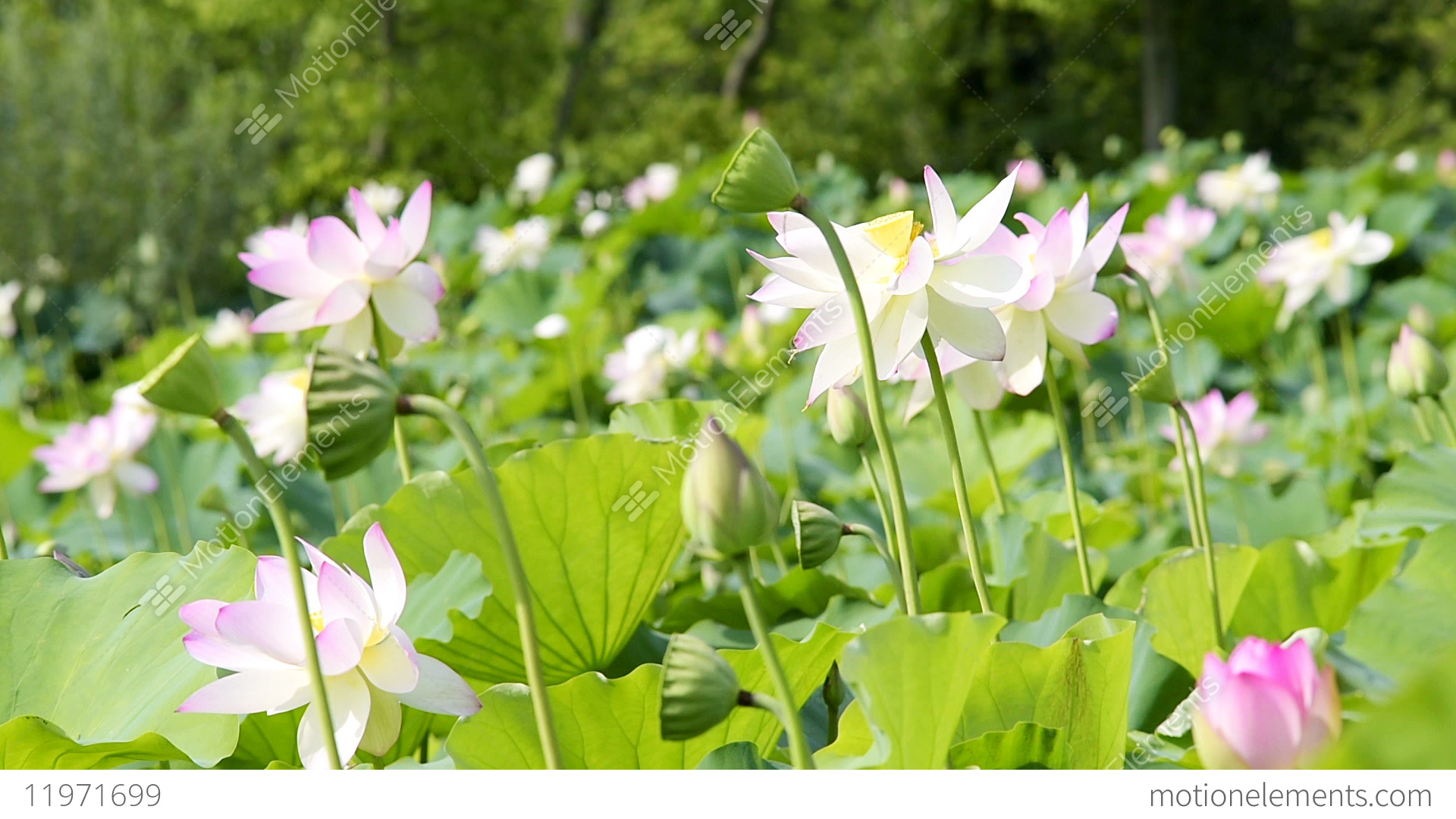 Many Blooming Pink Bright Lotus Flowers Blossom In Pond With Bokeh