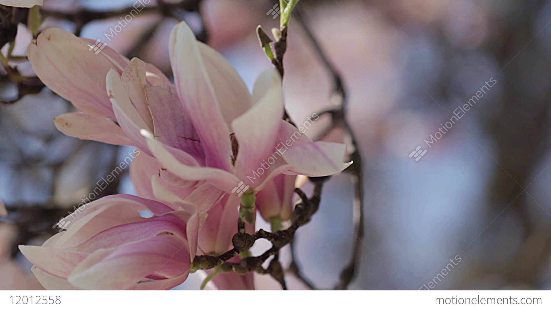 Magnolia Branches With Large Pink And White Flower Blossoms Blowing