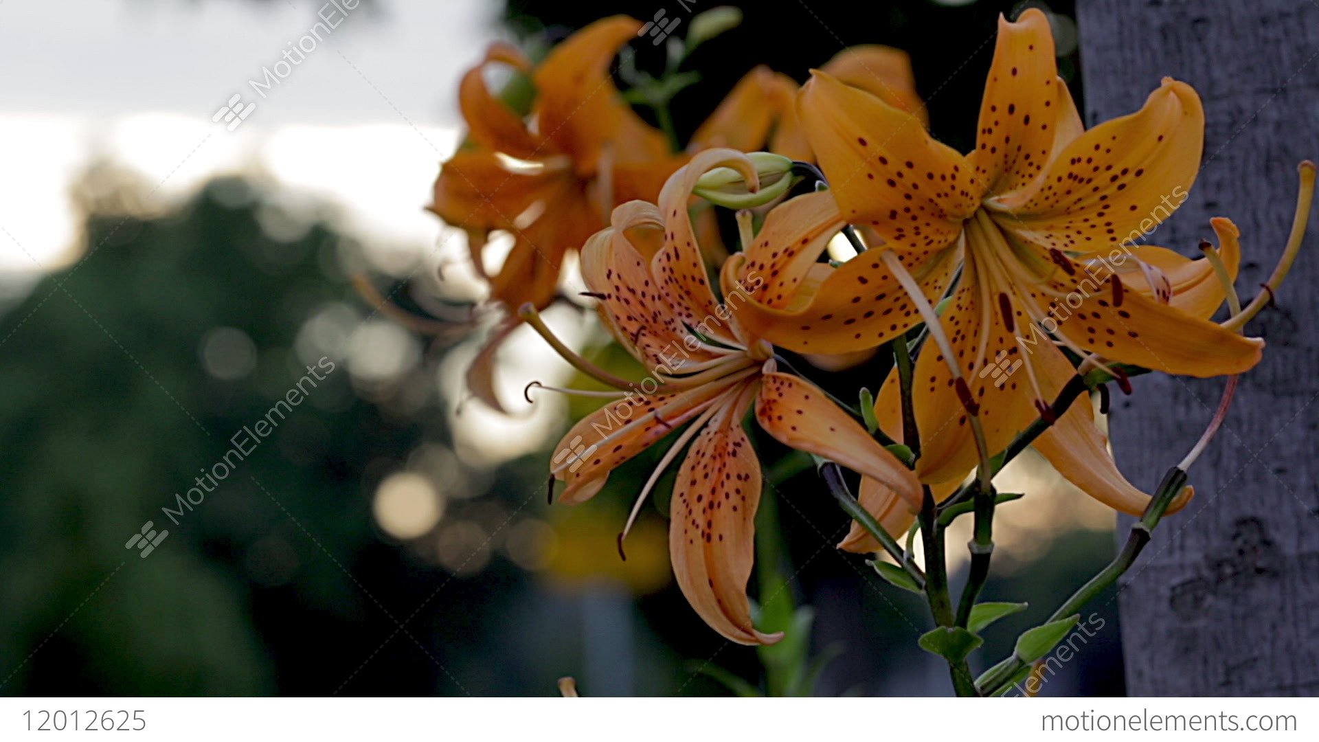 Rack Focus On An Orange And Black Tiger Lily Flower With A Blurred