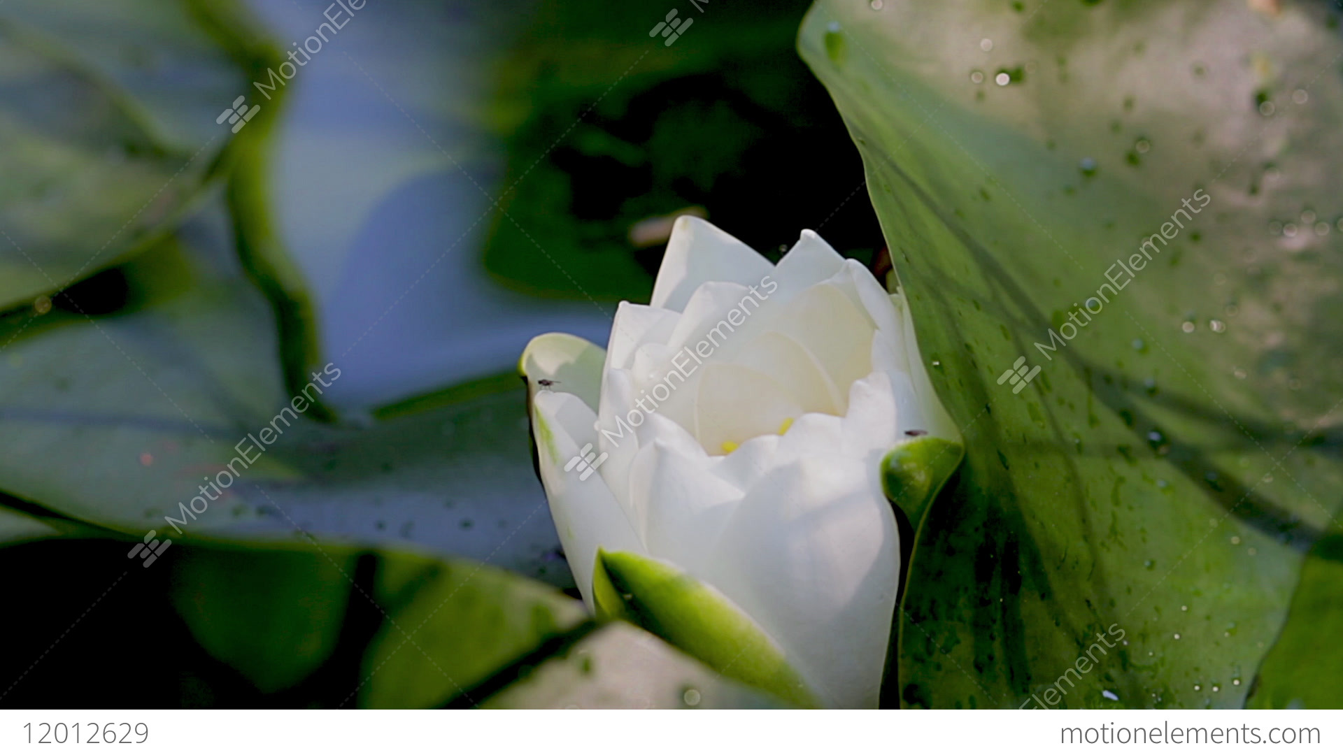 Close Up Of White Lotus Flower Ready To Blossom Lily Pad And Bloom