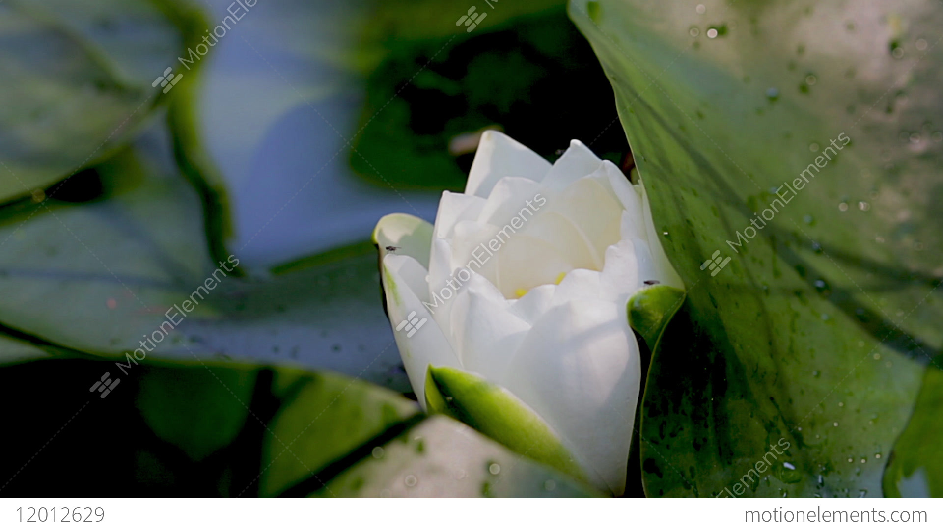 Close up of white lotus flower ready to blossom lily pad and bloom close up of white lotus flower ready to blossom lily pad stock izmirmasajfo