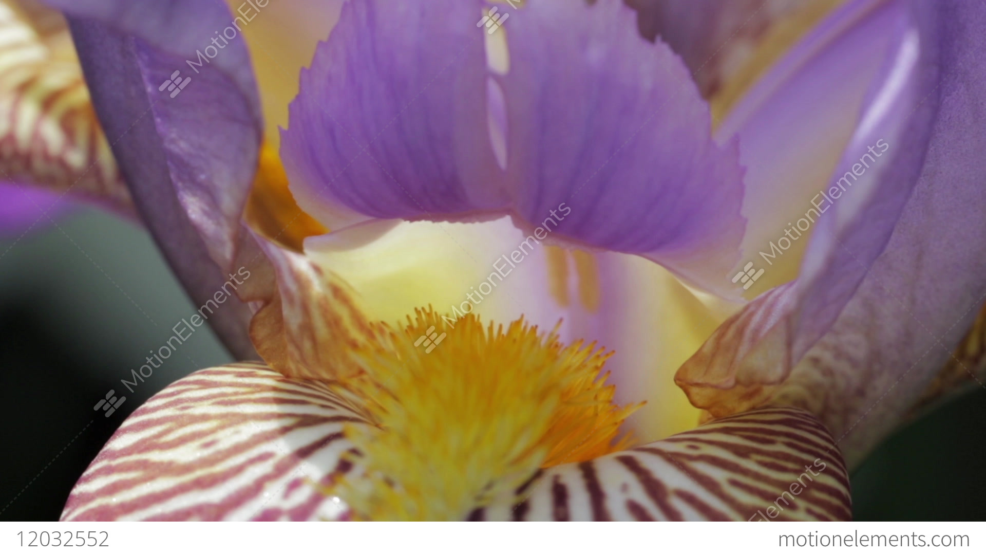 Beautiful and delicate iris flower blossom close up purple yellow beautiful and delicate iris flower blossom close up stock video footage izmirmasajfo