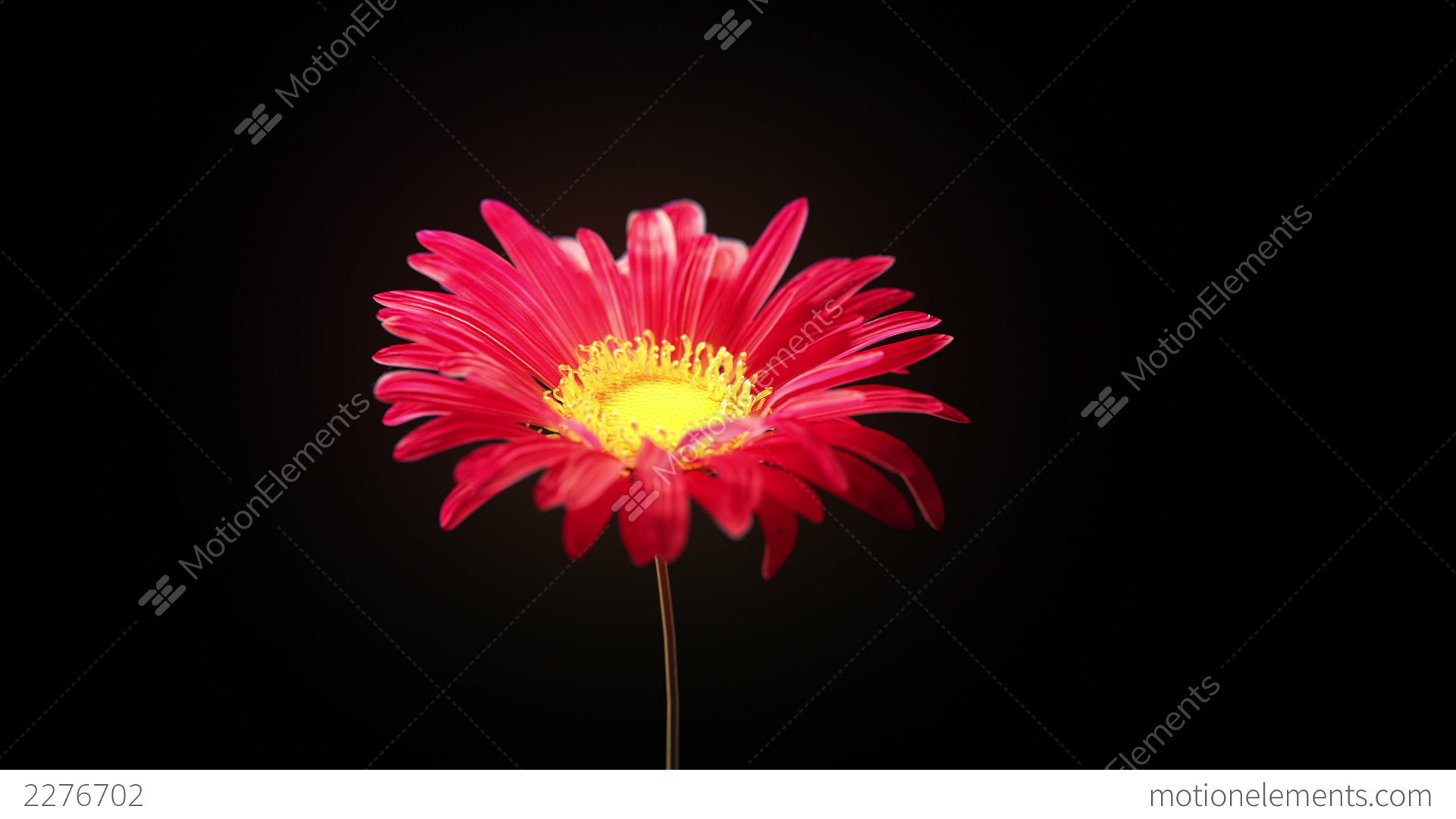 Wilted Flower Stock Animation | 2276702