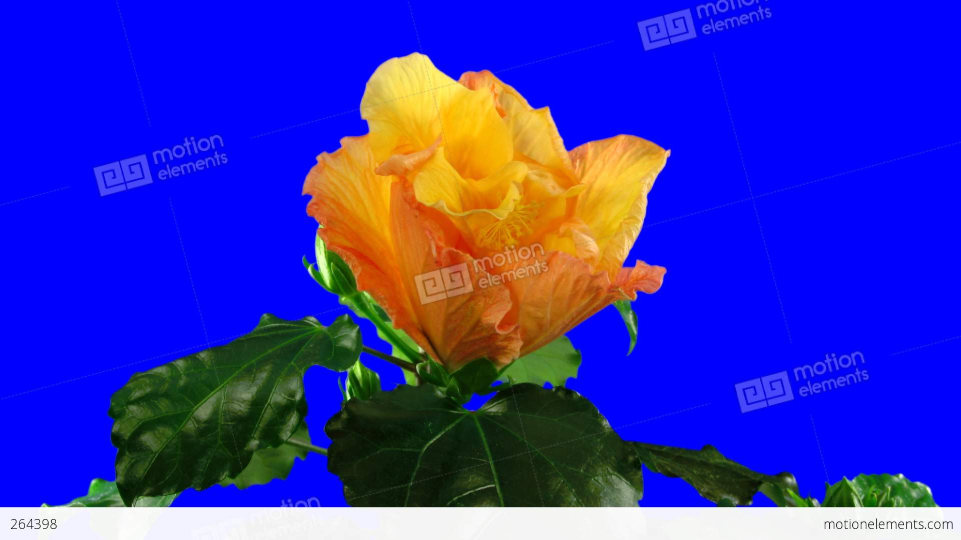 Time lapse of pink hibiscus flowers 5ck with blue chroma key stock time lapse of pink hibiscus flowers 5ck with blue chroma key stock video footage izmirmasajfo