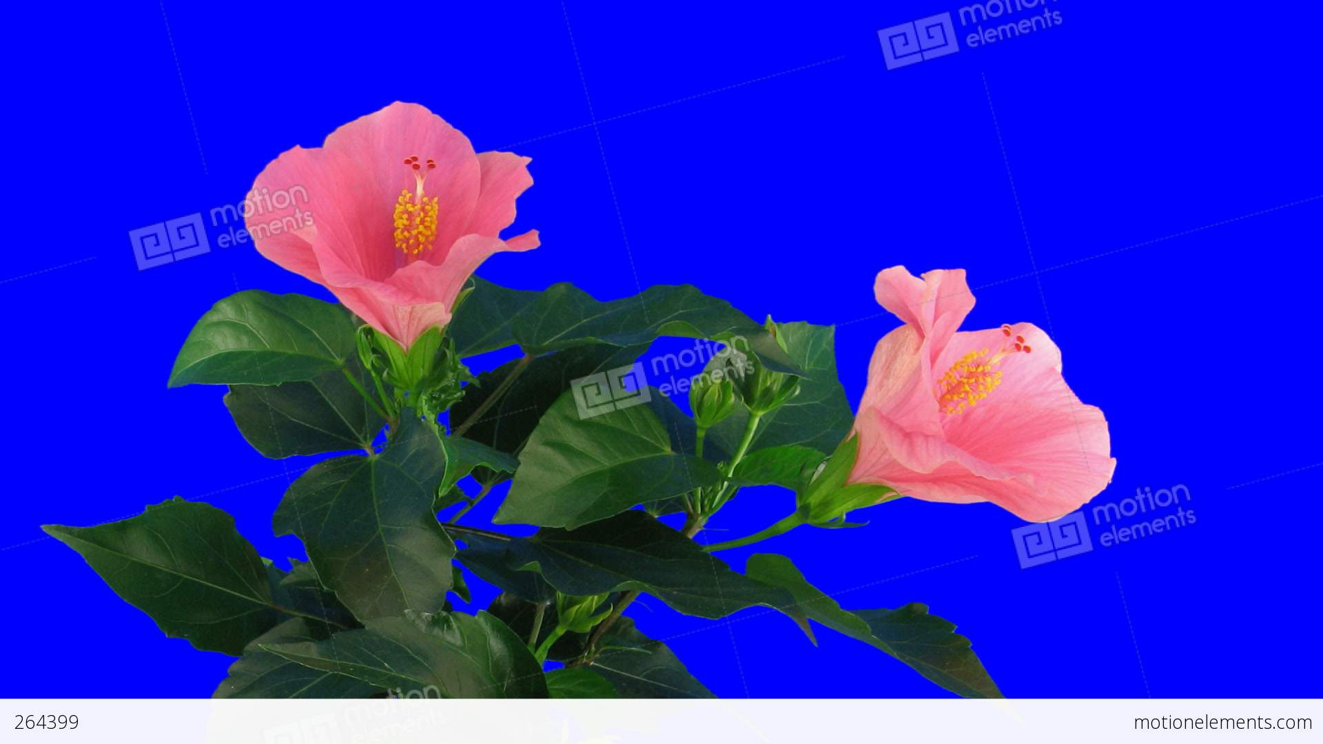 Time Lapse Of Pink Hibiscus Flower Opening 2ck Blue Chroma Key Stock