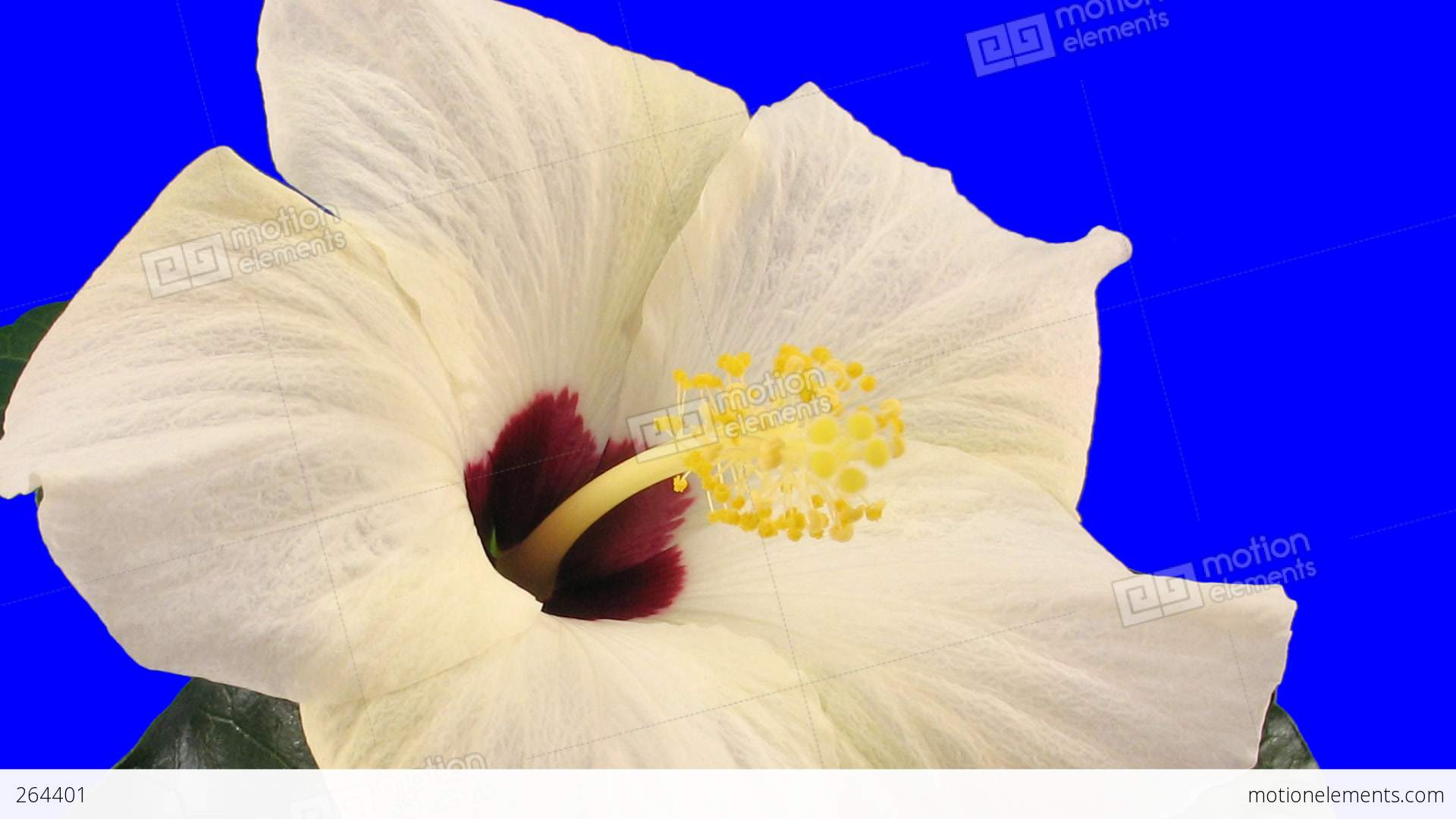 Time Lapse Of White Hibiscus Flower Opening 9a Chroma Key Stock