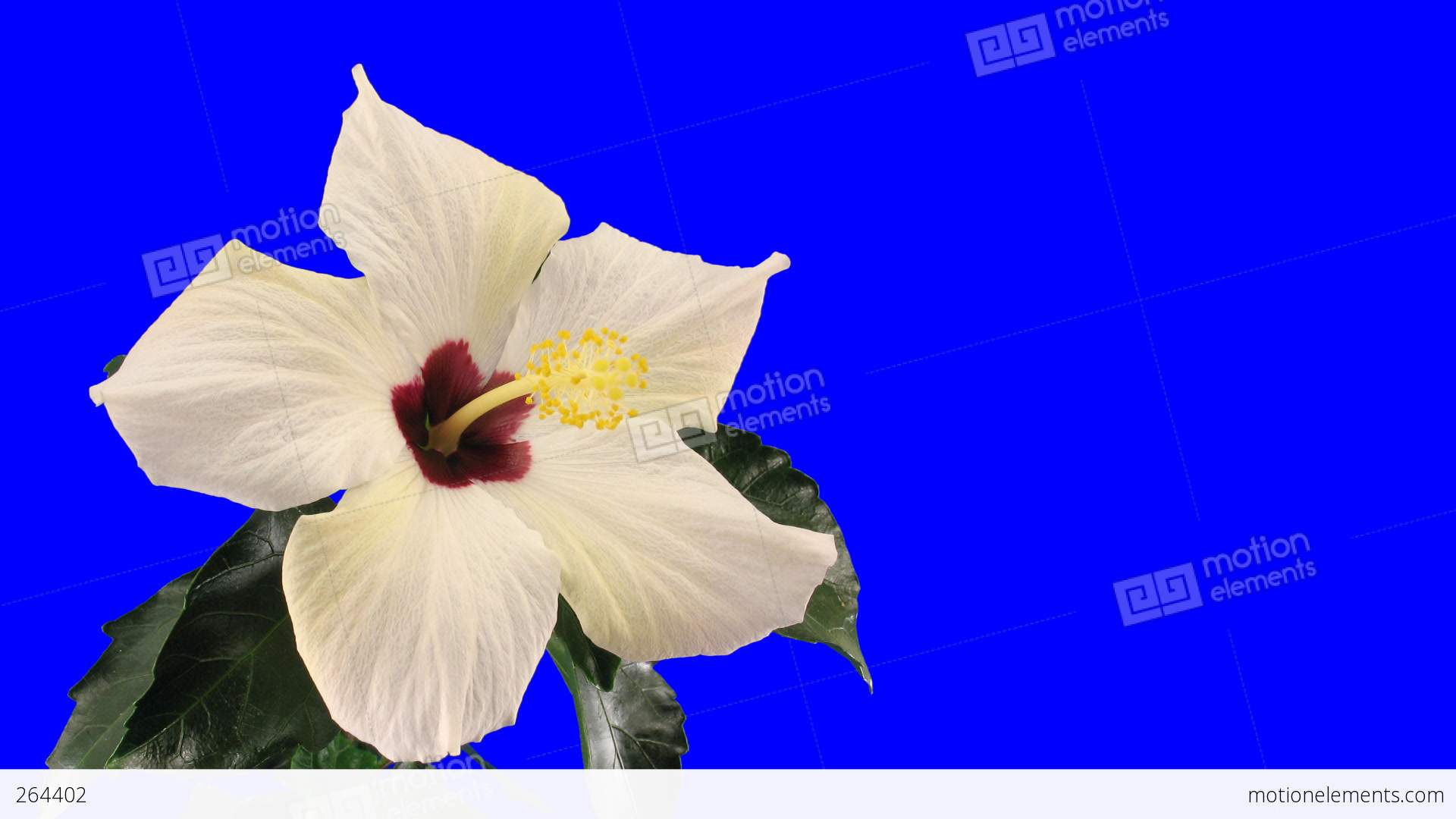 Time lapse of white hibiscus flower opening 9 chroma key stock video time lapse of white hibiscus flower opening 9 chroma key stock video footage izmirmasajfo