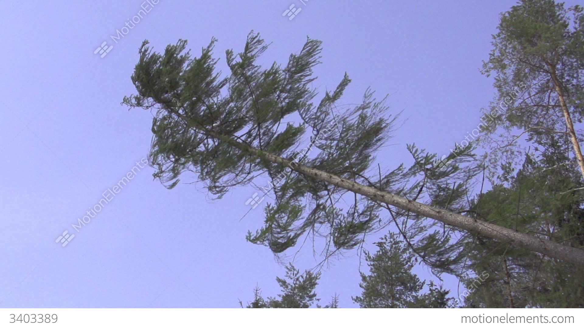 Slow motion big spruce tree falling down stock video footage slow motion big spruce tree falling down stock video footage biocorpaavc Image collections