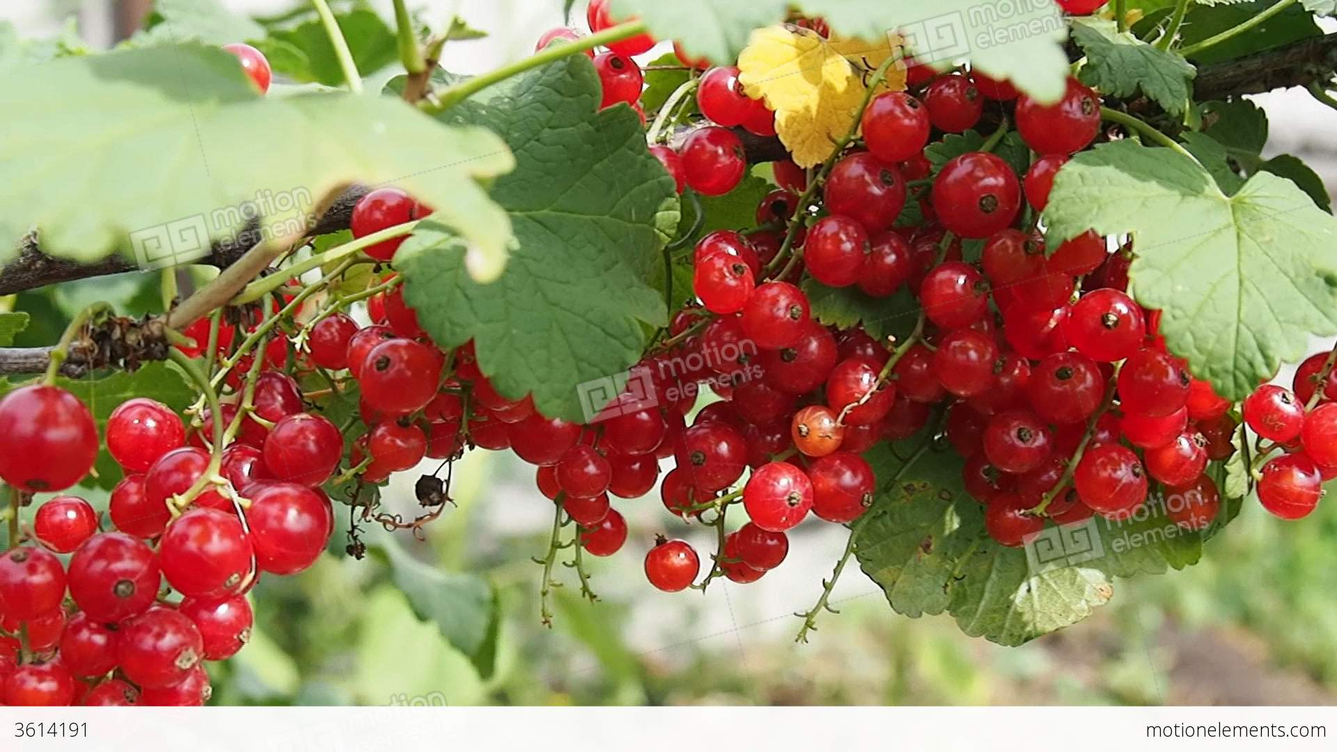 Ripe Red Currant Berries On A Bush Stock video footage ...