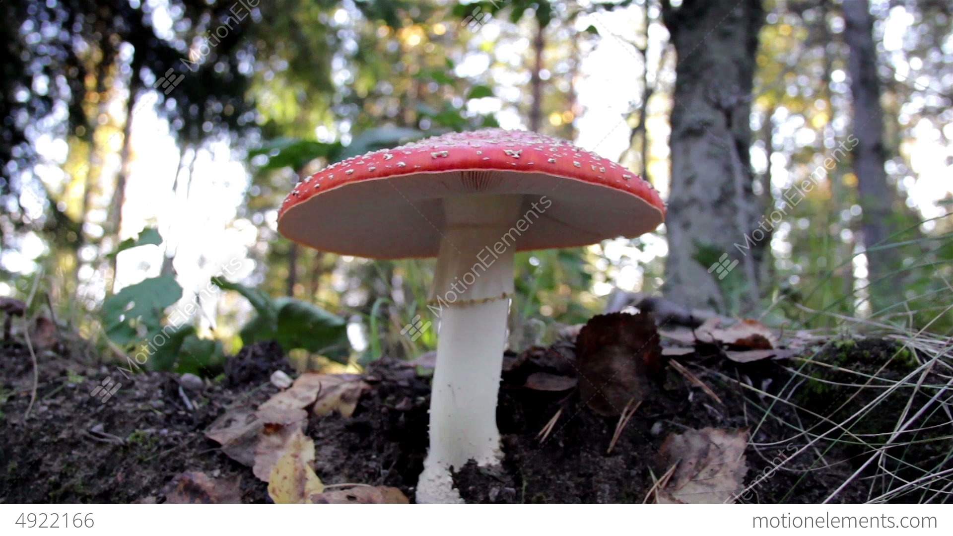 Growing Amanita Muscaria fly agaric mushroom in th Stock Video Footage
