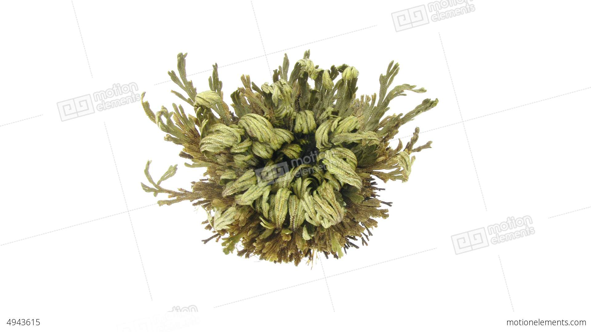 time lapse of opening rose of jericho resurrectio stock video footage 4943615. Black Bedroom Furniture Sets. Home Design Ideas