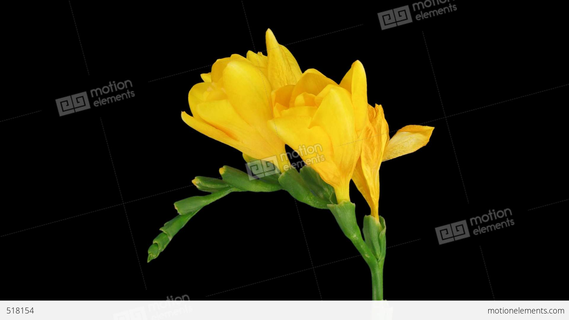 Time Lapse Of Opening Yellow Freesia Flower 2 Dci 2k Stock Video