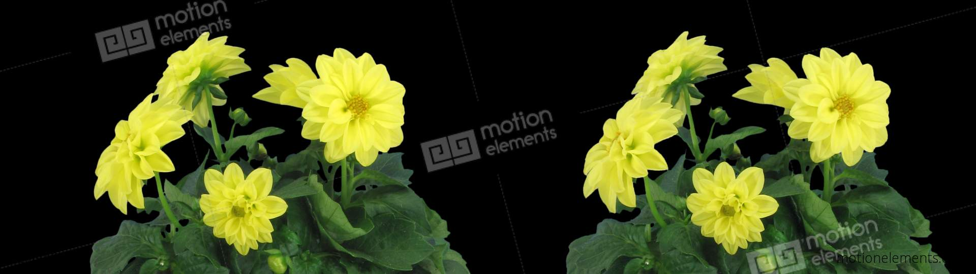 Stereoscopic 3d time lapse of opening yellow dahlia 1c cross vision stereoscopic 3d time lapse of opening yellow dahlia 1c stock video footage izmirmasajfo