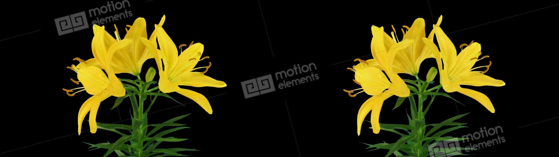 Stereoscopic 3d time lapse of opening yellow lily cross eye 1a stock stereoscopic 3d time lapse of opening yellow lily stock video footage izmirmasajfo
