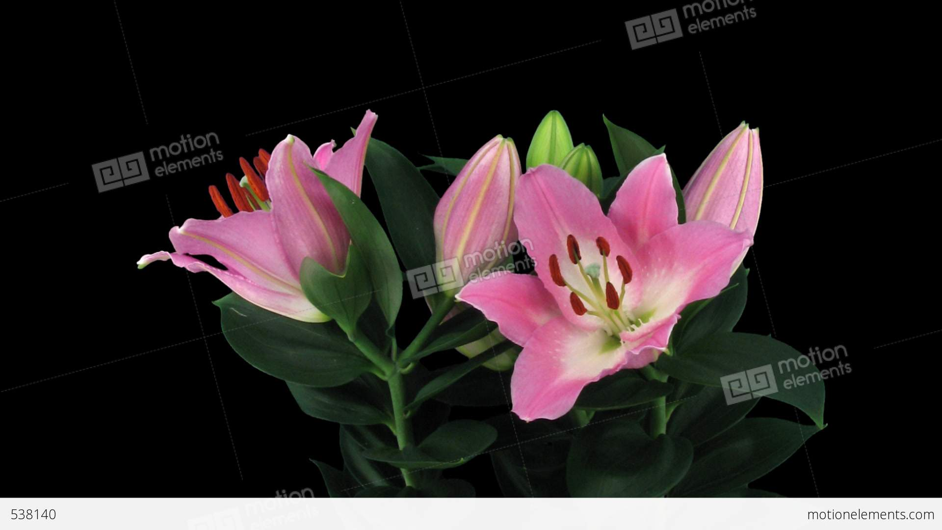 Stereoscopic 3D Time-lapse Of Opening Pink Lily (right Eye) 4a Stock video  footage