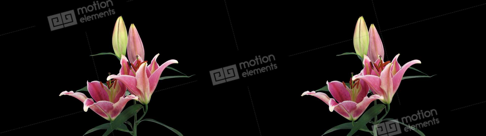 Stereoscopic 3D Time-lapse Of Opening Pink Lily Cross-eye 1ahs Stock  Animation