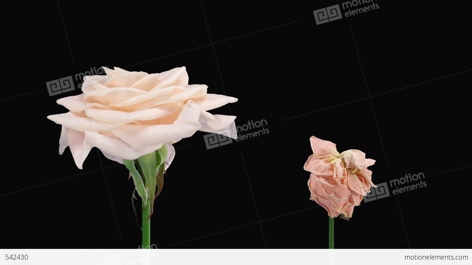 Розы медео купить доставка цветов d nekt