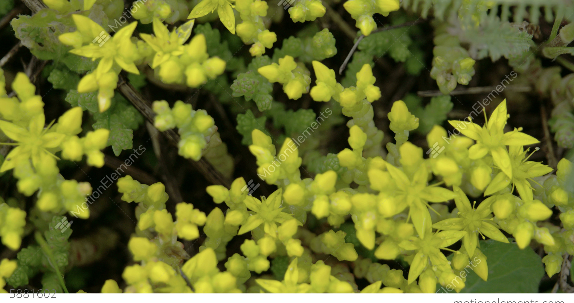 Aerial Look Of The Yellow Flowers Of Stonecrops Pl Stock Video