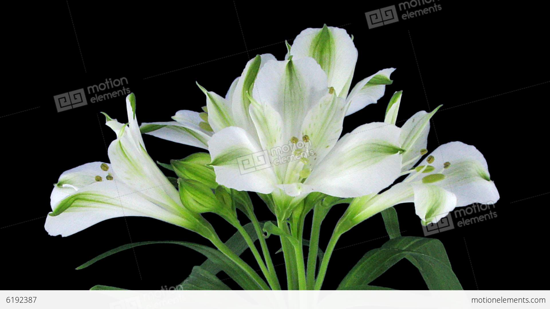 Growing opening and rotating white peruvian lily stock video growing opening and rotating white peruvian lily stock video footage izmirmasajfo