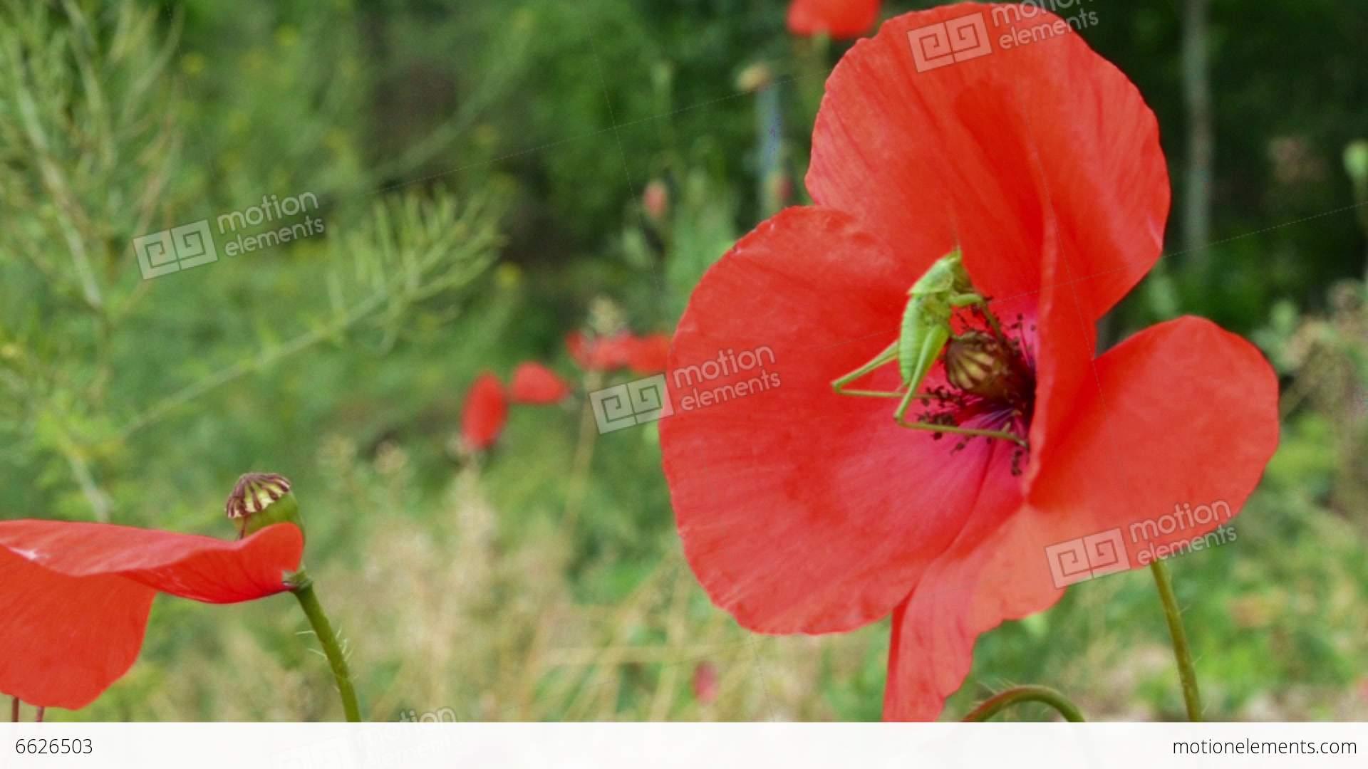 Grasshopper on poppy flower stock video footage 6626503 grasshopper on poppy flower stock video footage mightylinksfo