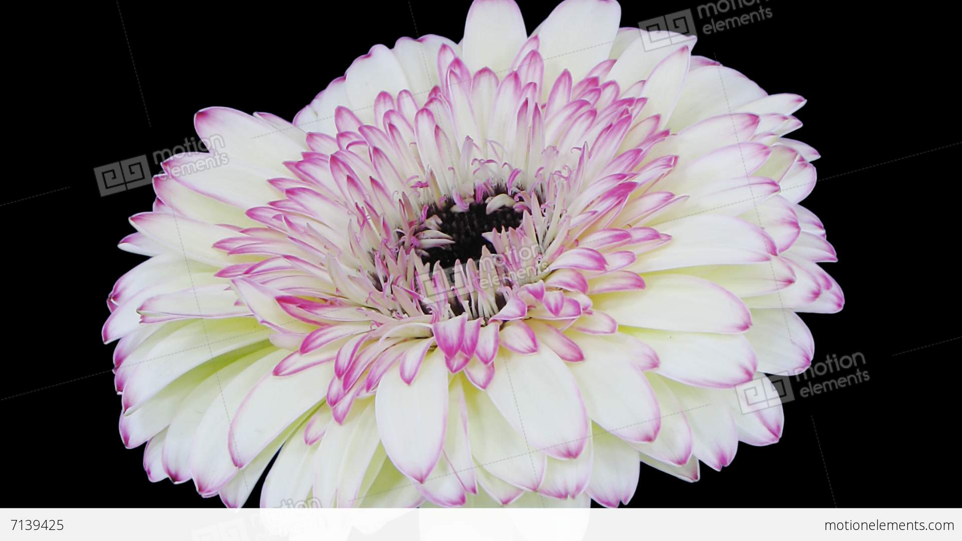 Time Lapse Of Opening White Red Gerbera Flower With Alpha Stock