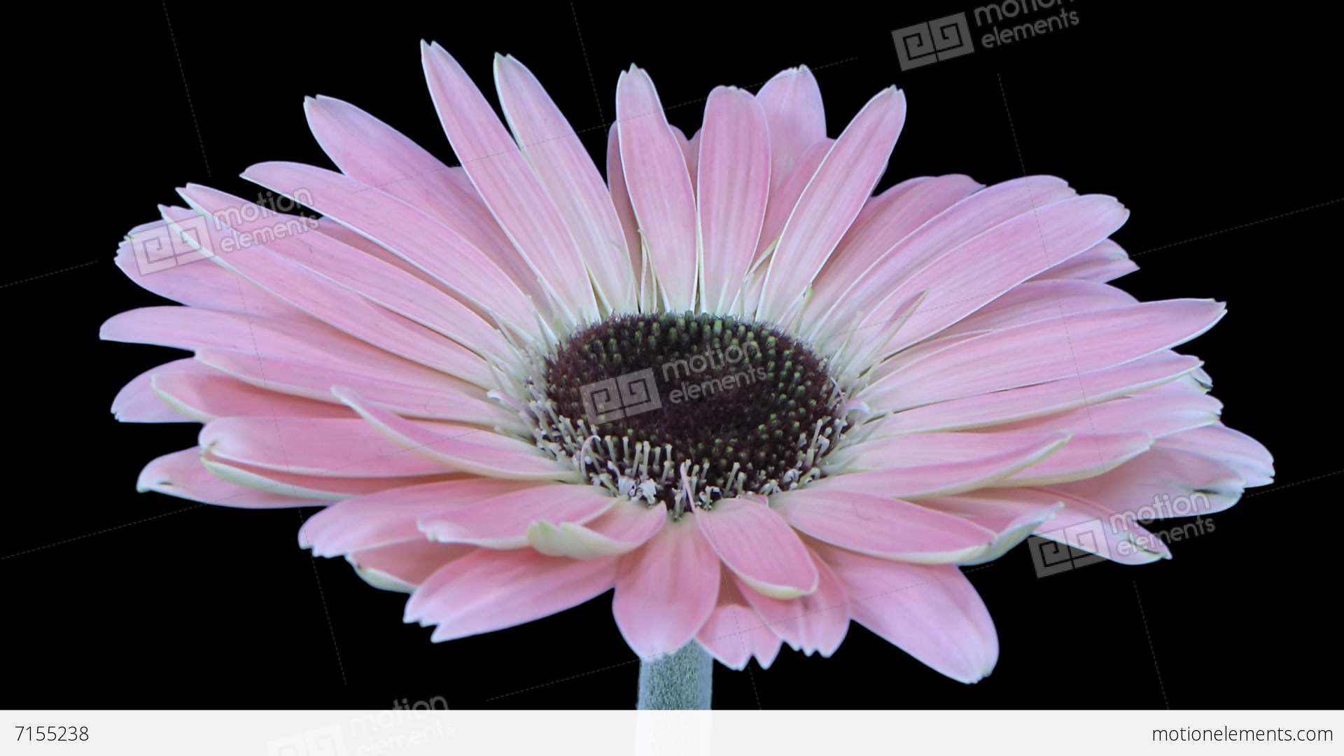 Time Lapse Of Growing And Opening Pink Gerbera Flower With Alpha