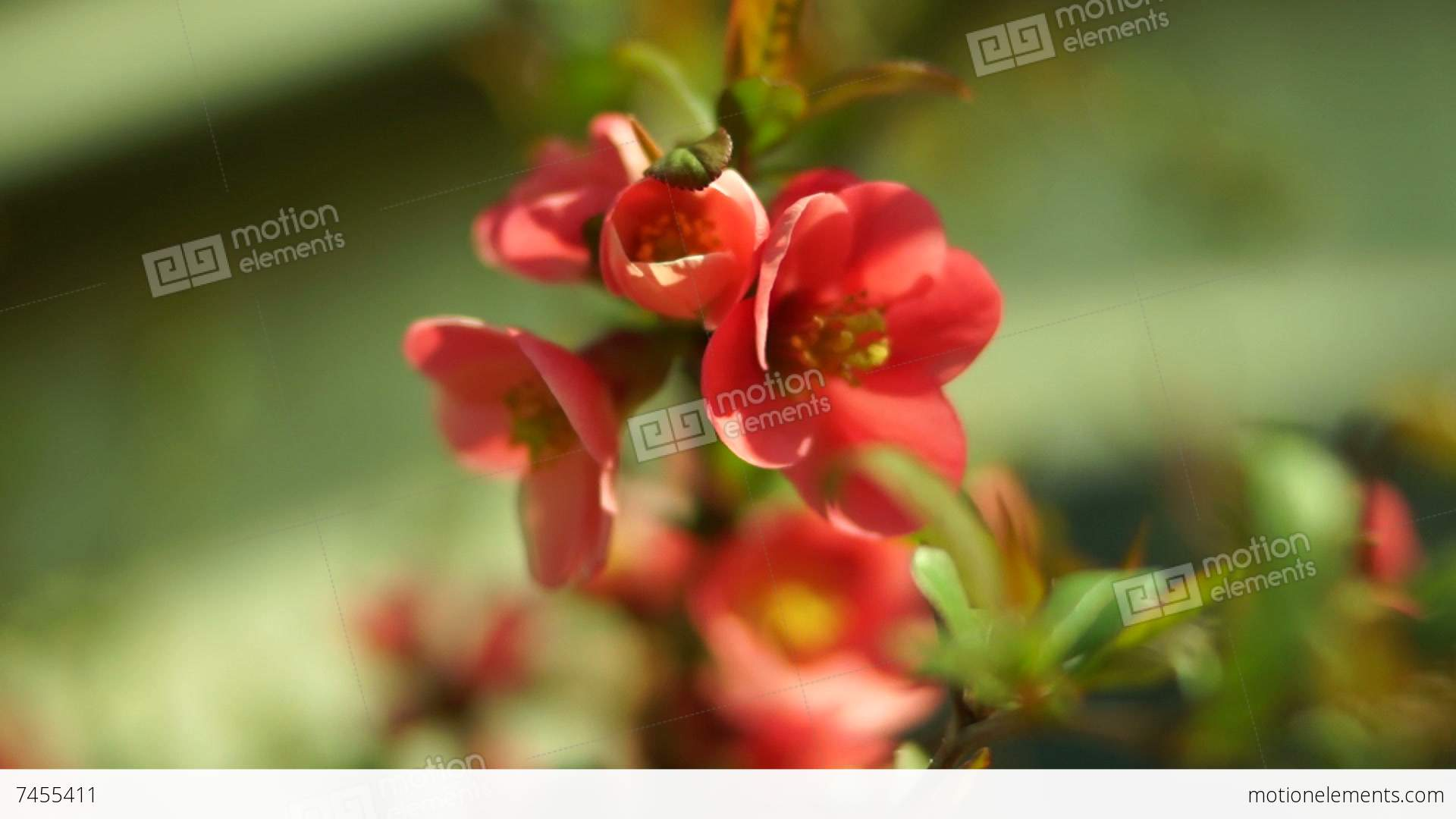 chaenomeles japonica japanese flowering quince stock video footage - Quince Flower