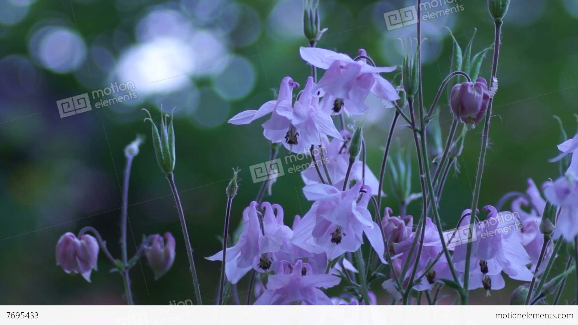 Delicate Pink Bell Shaped Flowers In Wind With Bokeh Stock Video
