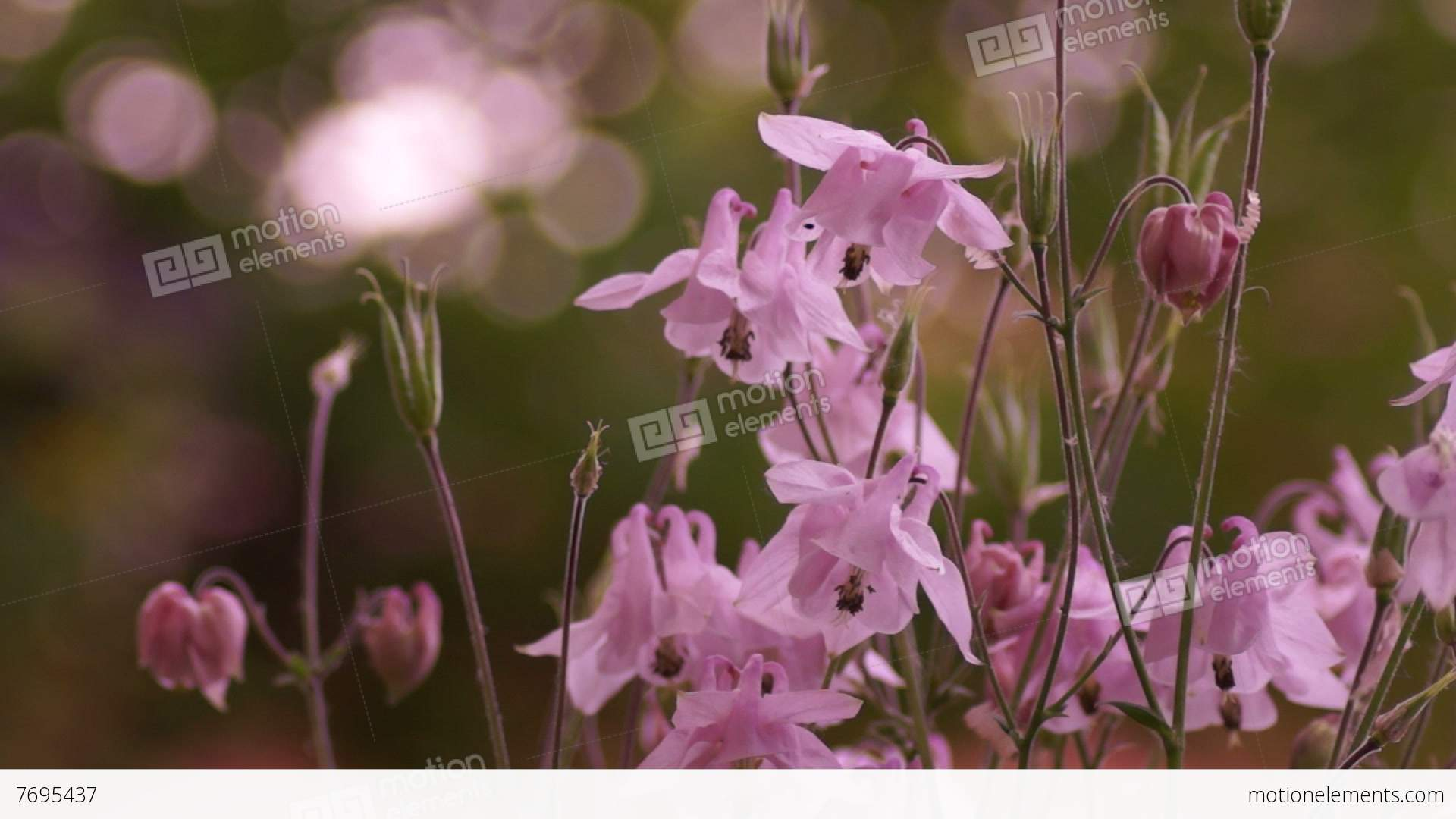 Delicate pink bell shaped flowers in wind with bokeh stock video delicate pink bell shaped flowers in wind with bokeh stock video footage mightylinksfo