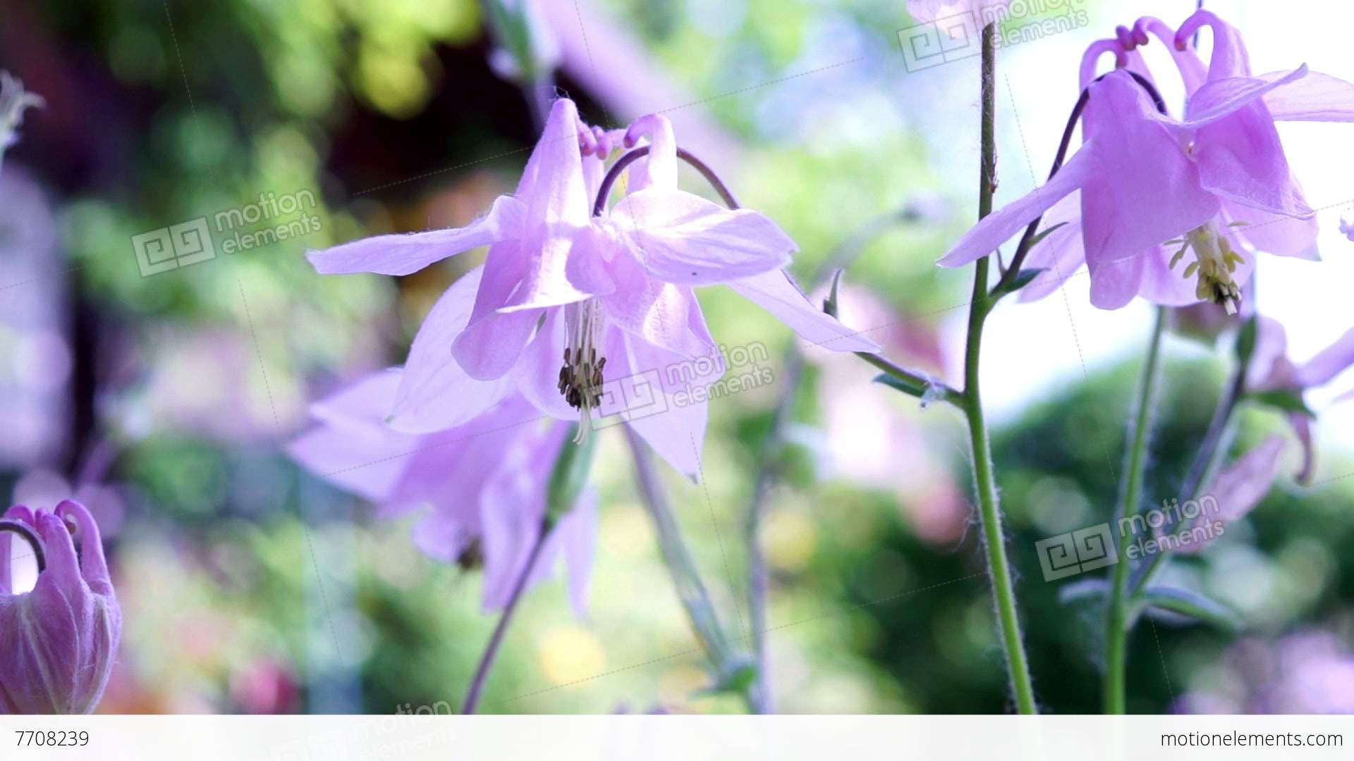 Pink bell shaped flowersaquilegia vulgaris or european columbine pink bell shaped flowersaquilegia vulgaris or european stock video footage mightylinksfo