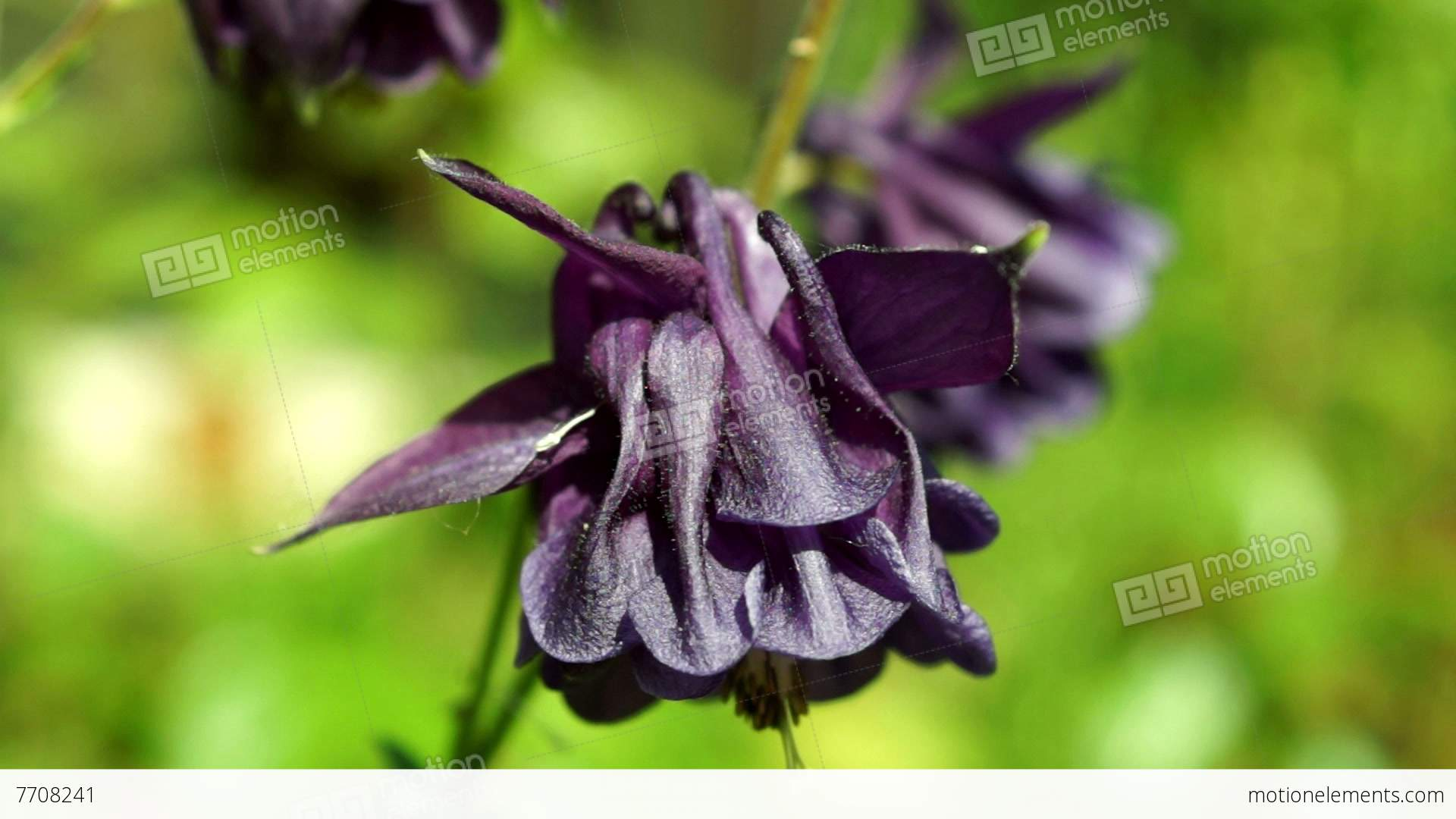 Mauve Bell Shaped Flowersaquilegia Vulgaris Or European Columbine