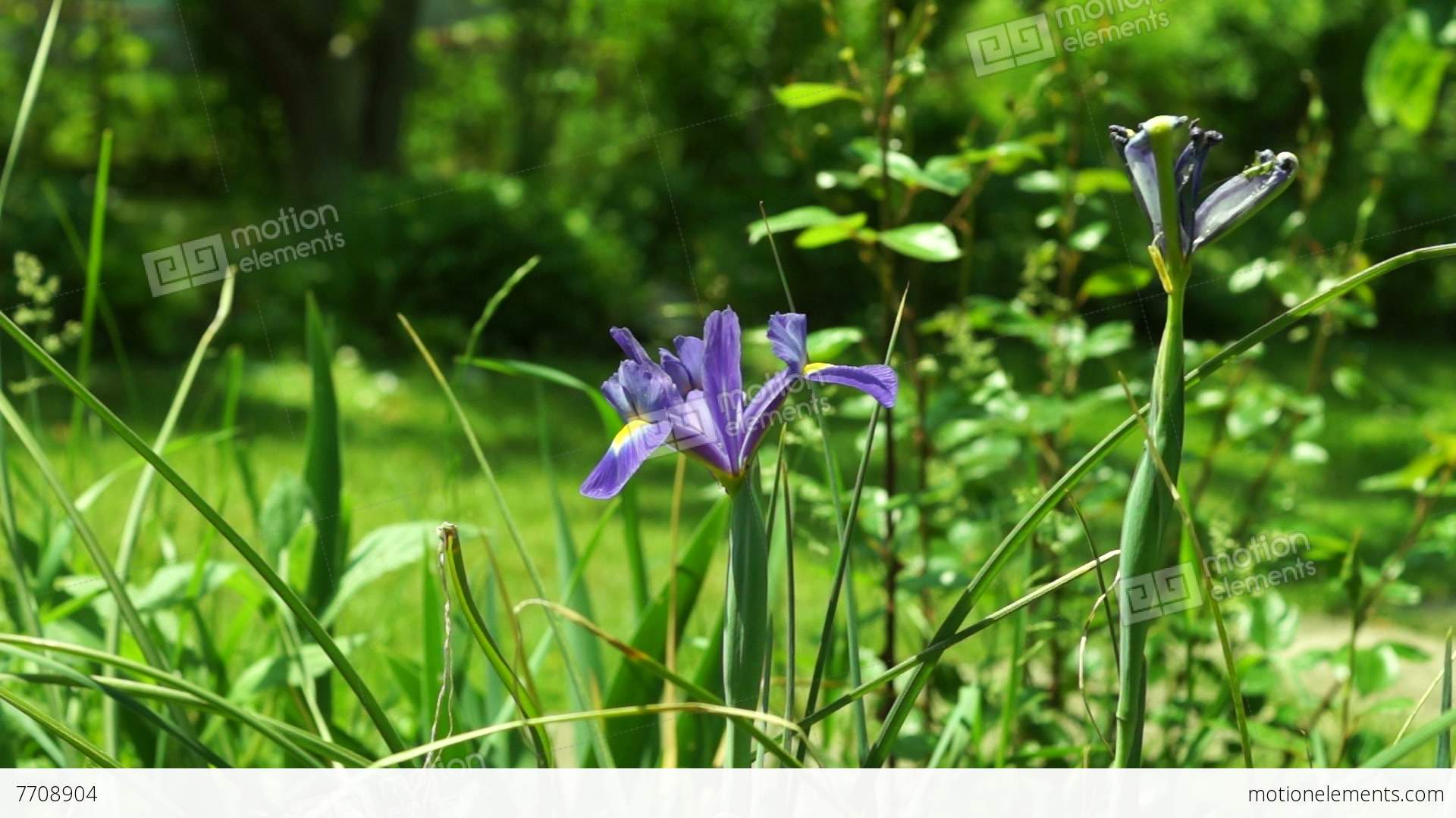 Blue iris flower in the garden with wind and sound stock video blue iris flower in the garden with wind and sound stock video footage izmirmasajfo