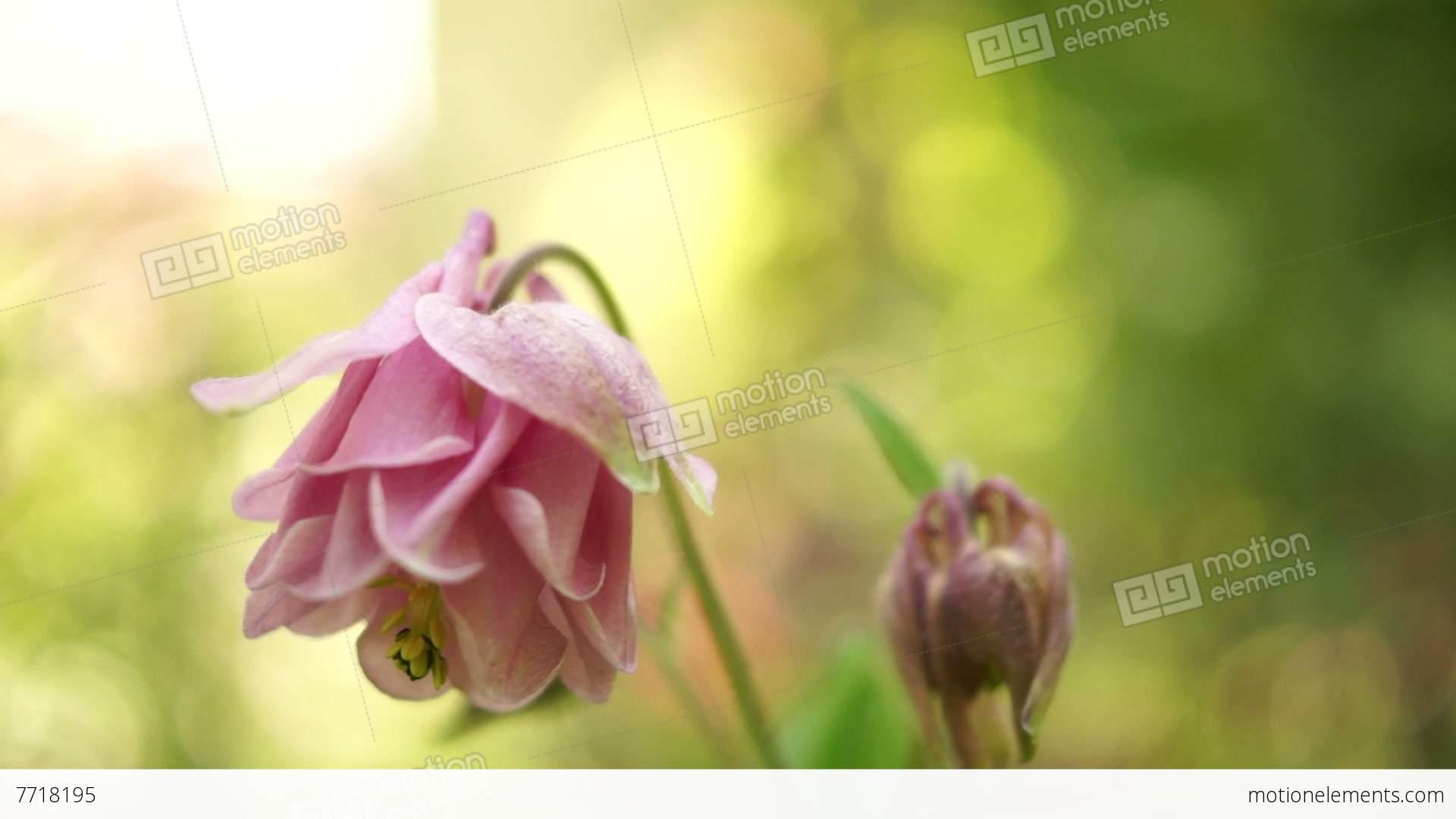 Pink bell shaped flowersaquilegia vulgaris or european columbinein pink bell shaped flowersaquilegia vulgaris or european stock video footage mightylinksfo