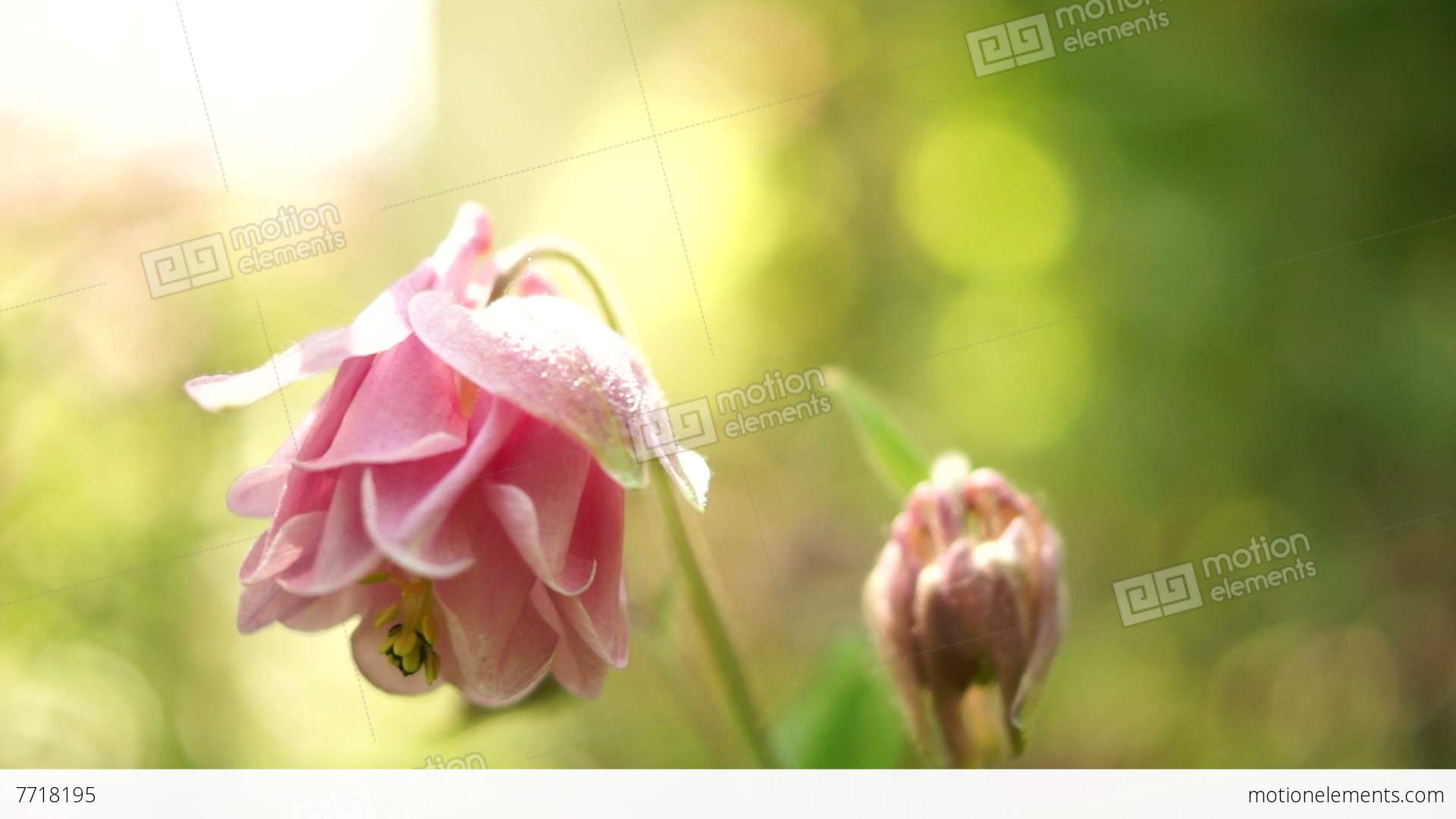 Pink Bell Shaped Flowersaquilegia Vulgaris Or European Columbinein