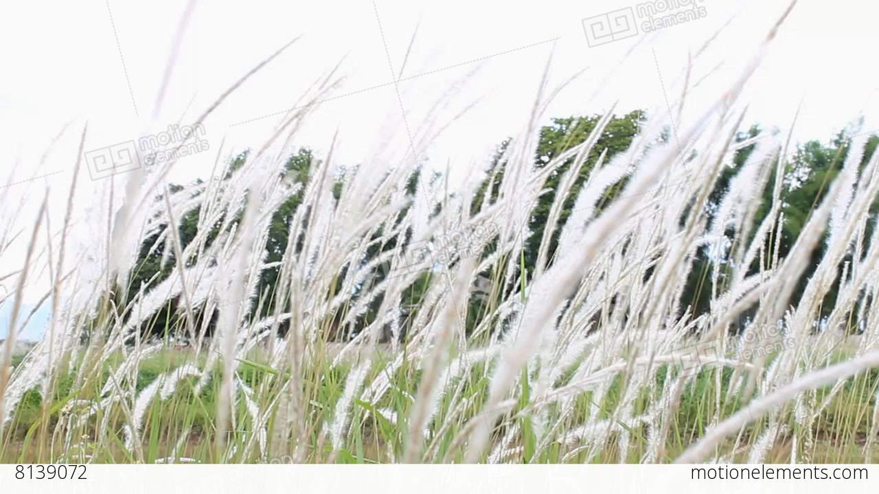 Wind blew white grass flowers or meadows on natural background stock wind blew white grass flowers or meadows on natural stock video footage mightylinksfo